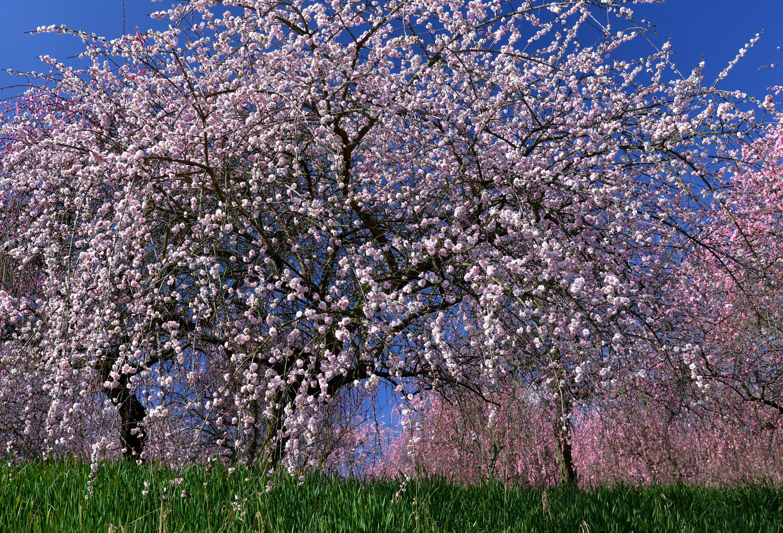 весенние цветущие деревья фото и названия спальне расположение спальне