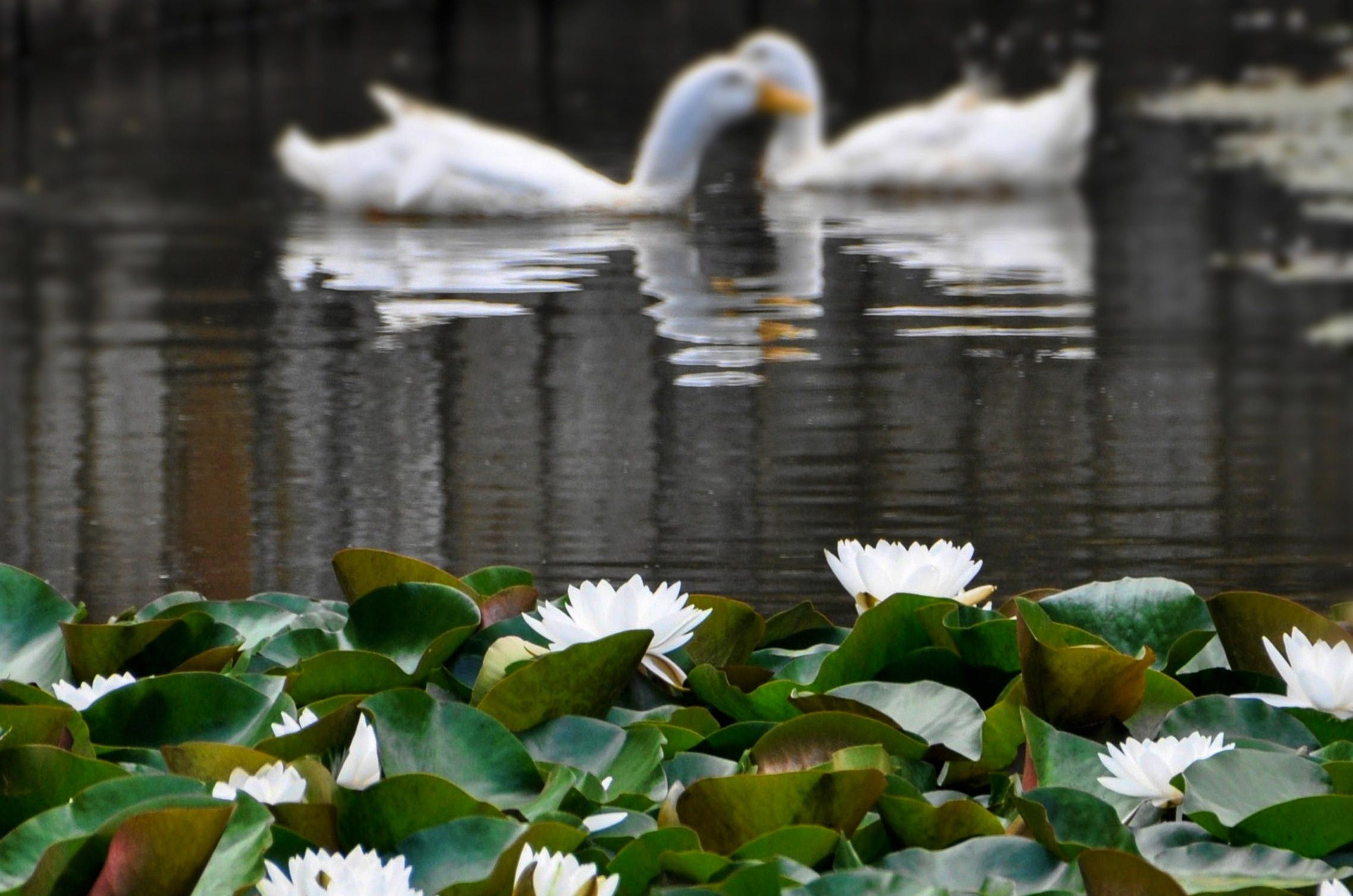 Картинки лебеди на озере с кувшинками, делать открытку