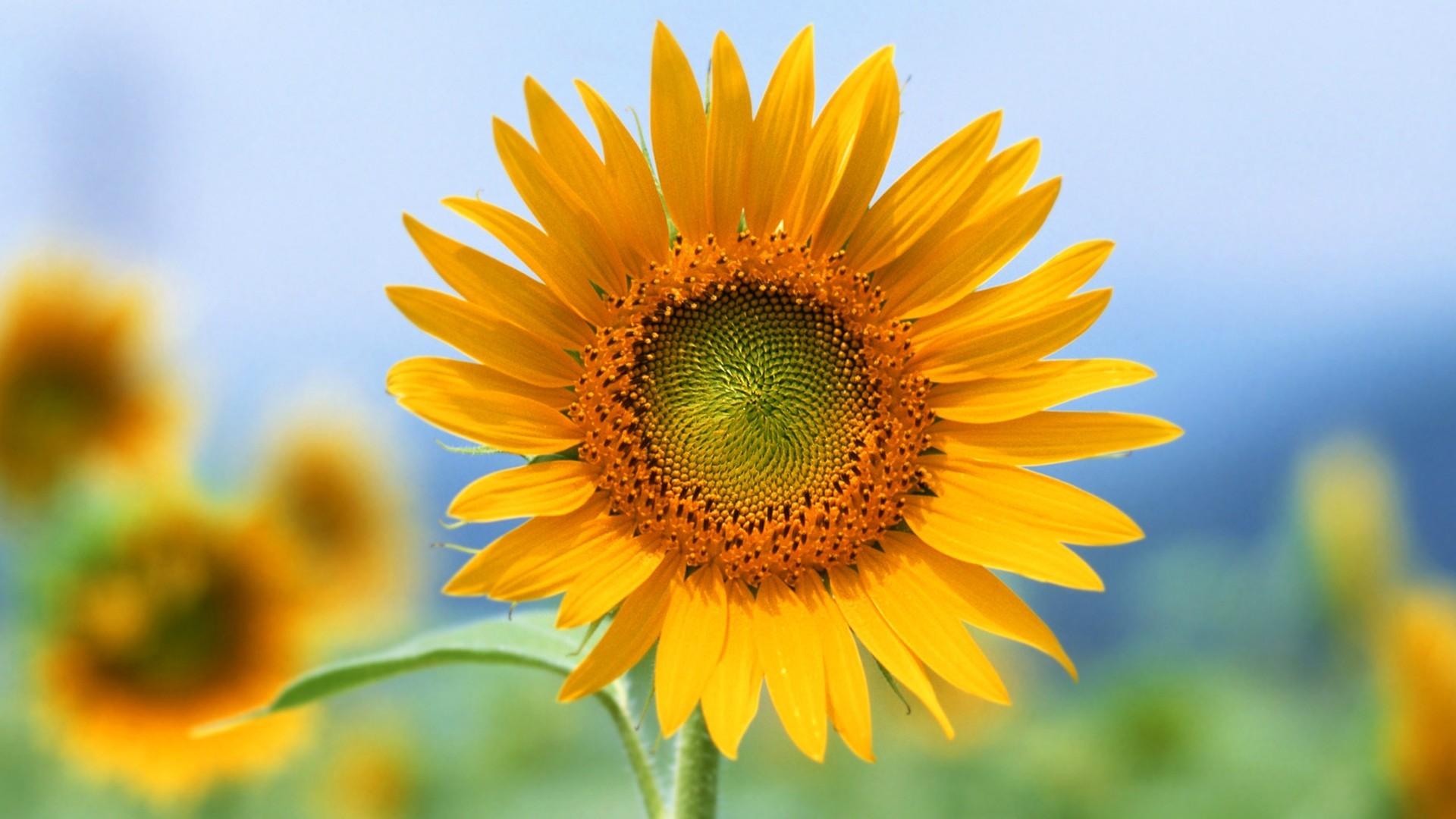 fond d 39 cran la nature champ jaune tournesols fleur flore p tale fleur sauvage plante. Black Bedroom Furniture Sets. Home Design Ideas