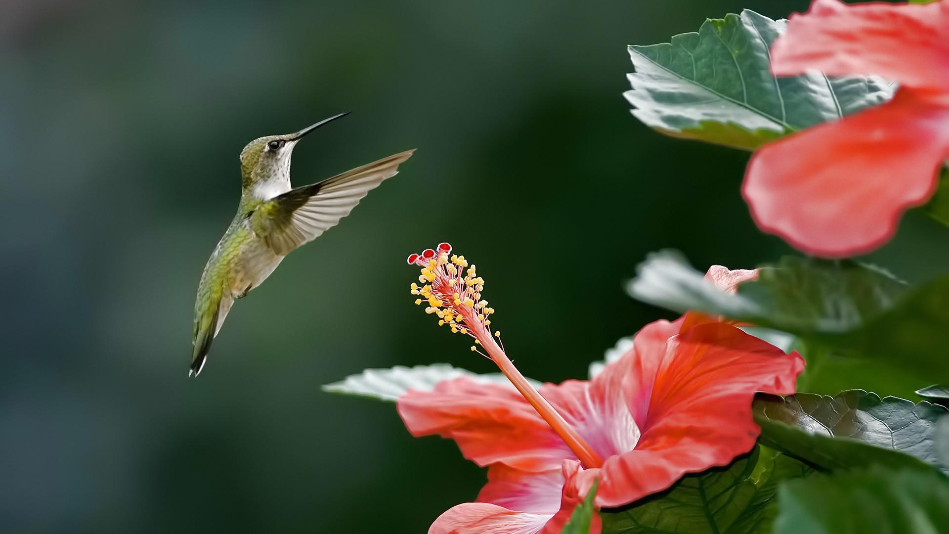 Hintergrundbilder Blumen Natur Kolibri Hibiskus Blatt Blume