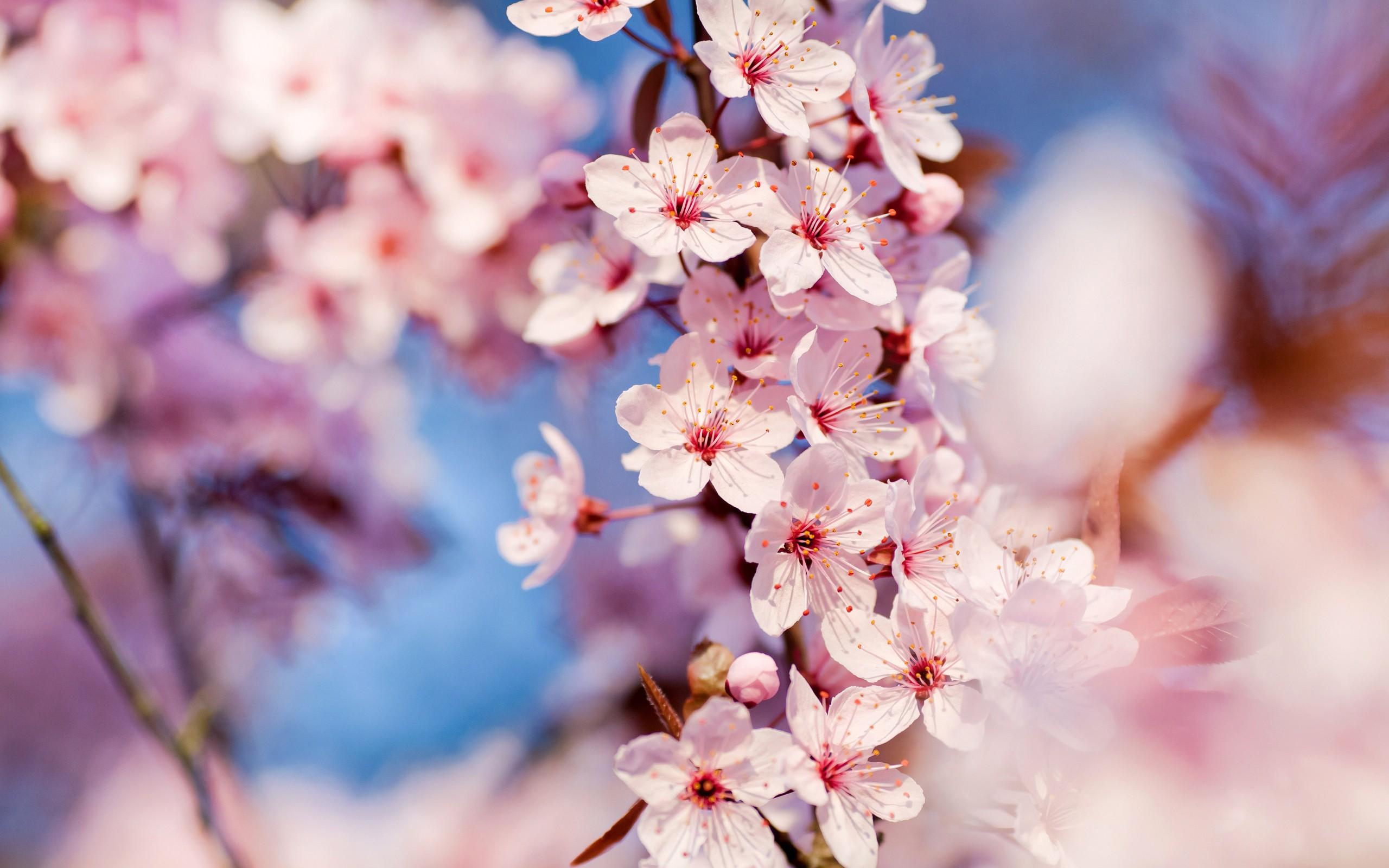 Sfondi Fiori Natura Ramo Fiore Di Ciliegio Fiorire Rosa