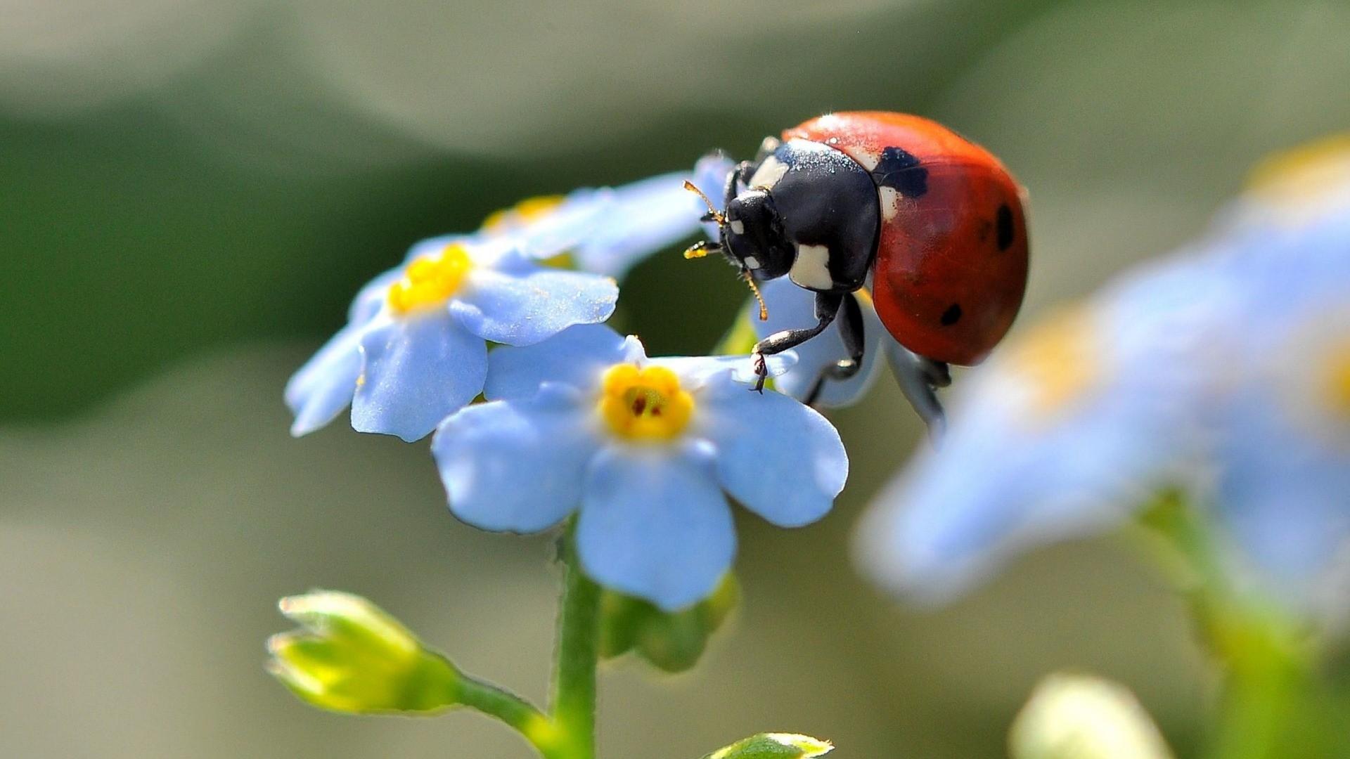 Hintergrundbilder Blaue Blume: Hintergrundbilder : Blumen, Natur, Fotografie, Ast, Insekt
