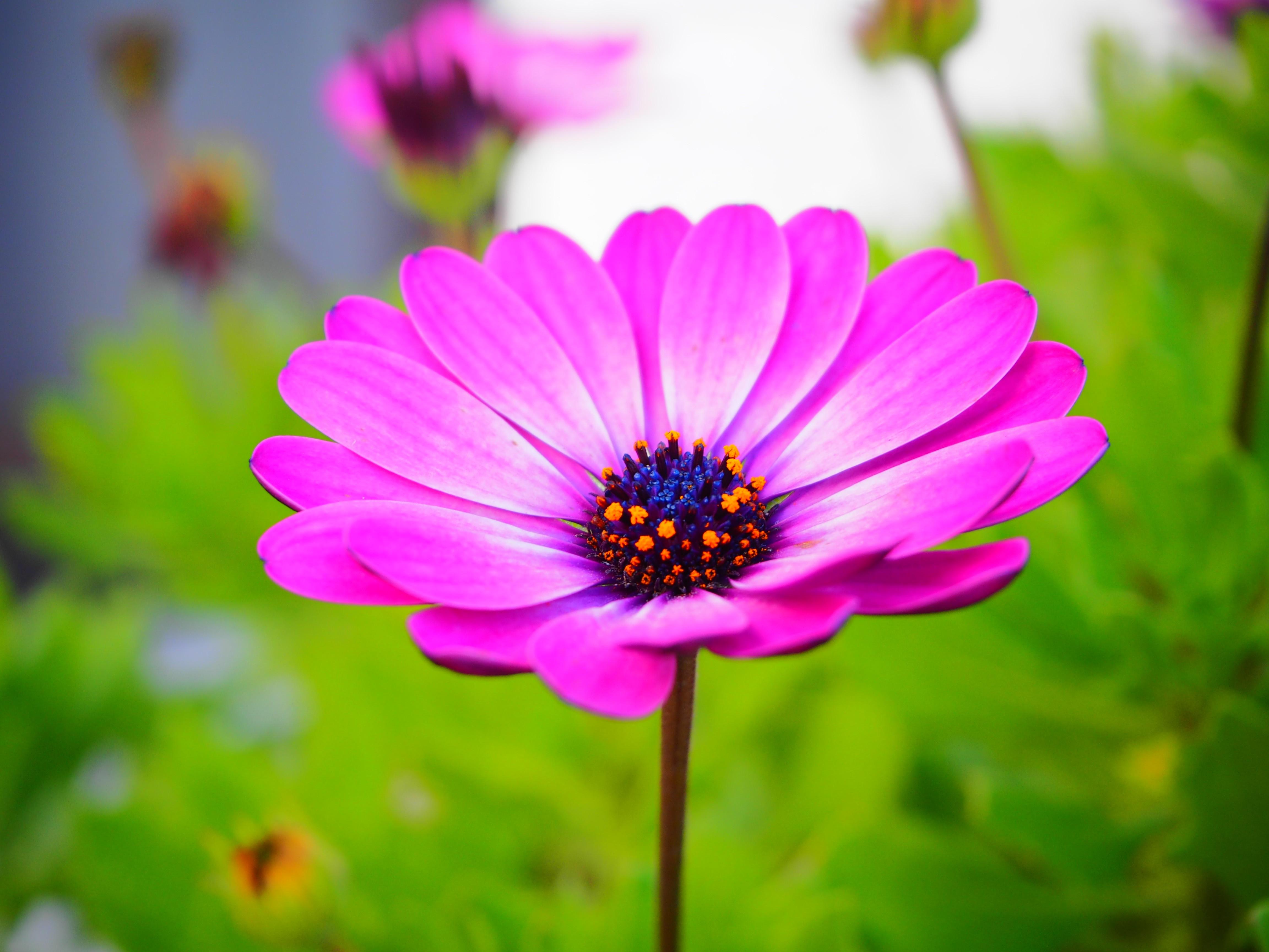fond d 39 cran la nature la photographie violet fleur marguerite flore p tale prairie. Black Bedroom Furniture Sets. Home Design Ideas