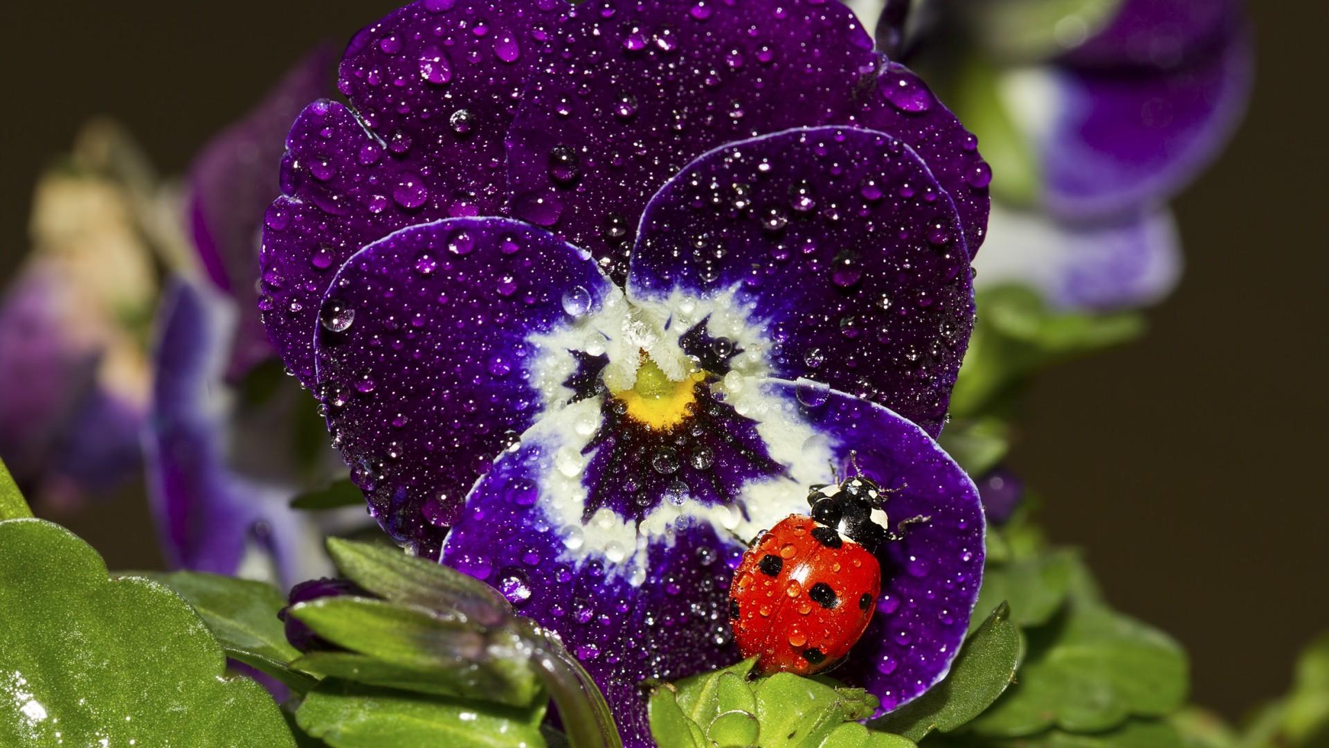 Цветы анютины глазки и картинки