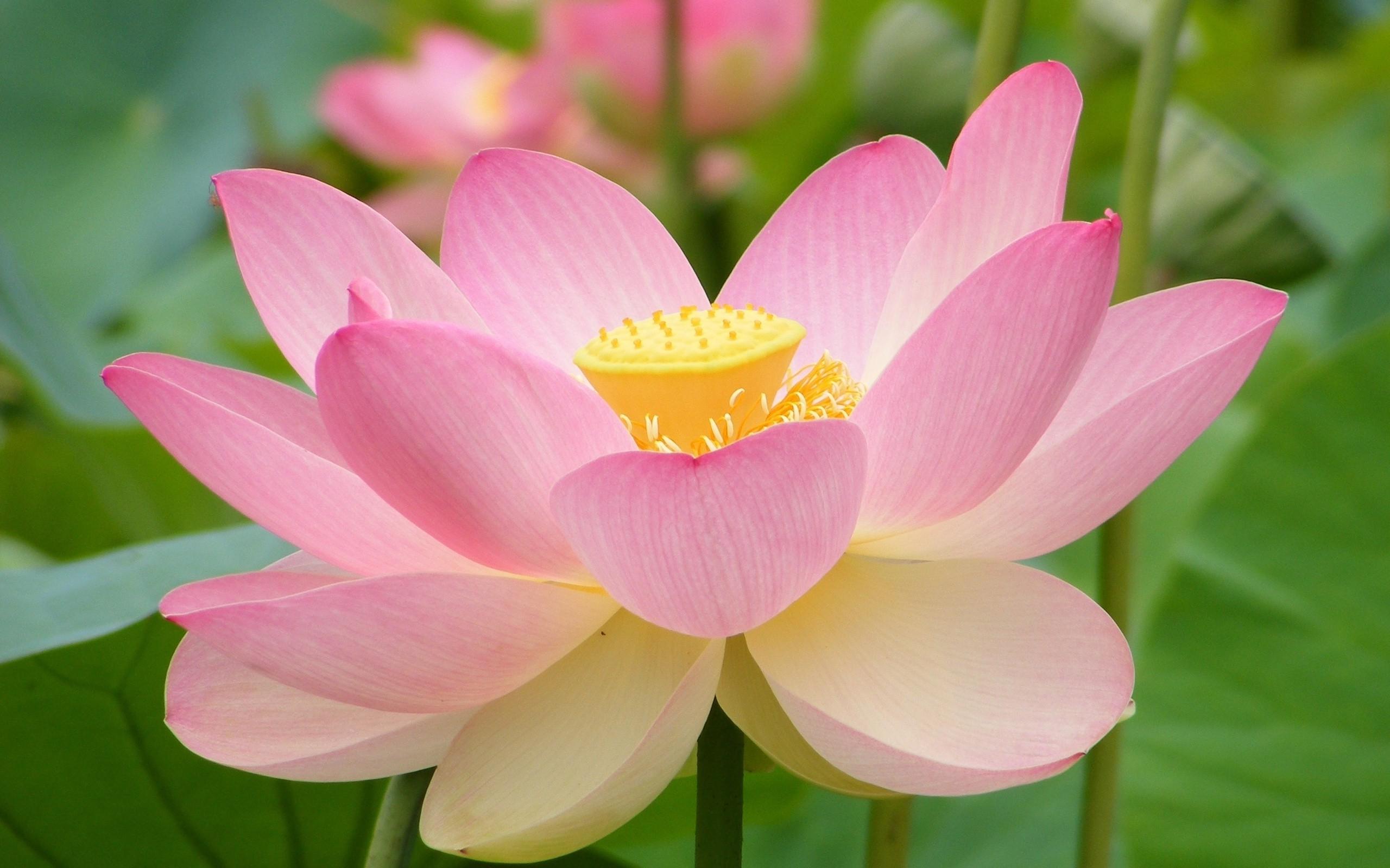 Wallpaper nature pink lotus flowers lotus flower flora petal flowers nature pink lotus flowers lotus flower plant flora petal 2560x1600 px land plant flowering plant izmirmasajfo