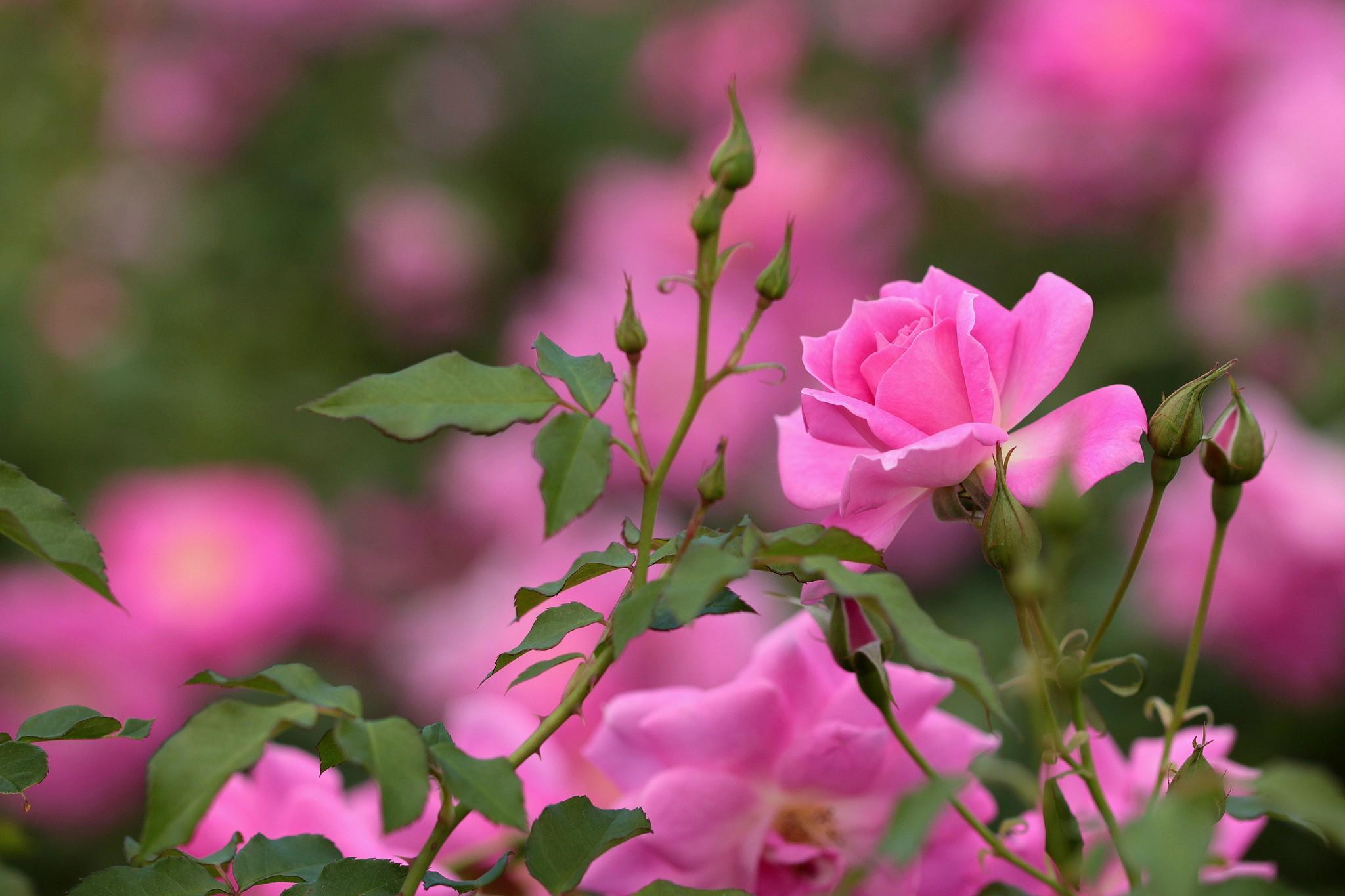 партизанском картинки на экран цветы розы есть