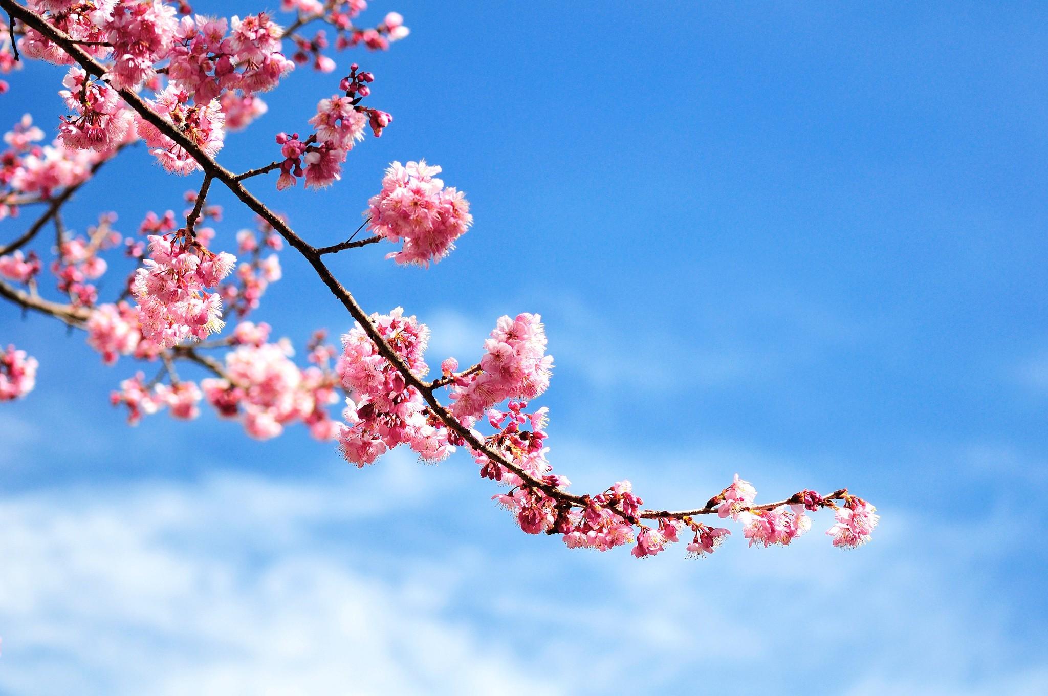 Sfondi Fiori Natura Cielo Ramo Fiore Di Ciliegio Fiorire