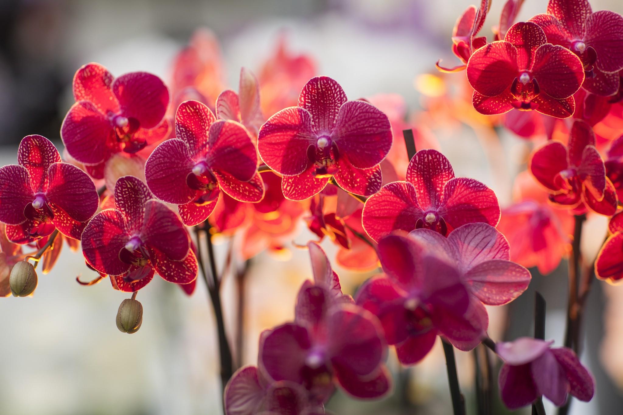 foto de Fond d'écran : Orchidées, les plantes, Macro, branche, fleur, rose ...