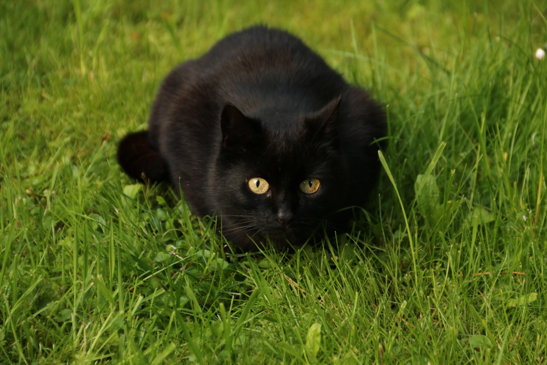 Hintergrundbilder Blumen Haustier Schwarz Tier Katze Garten