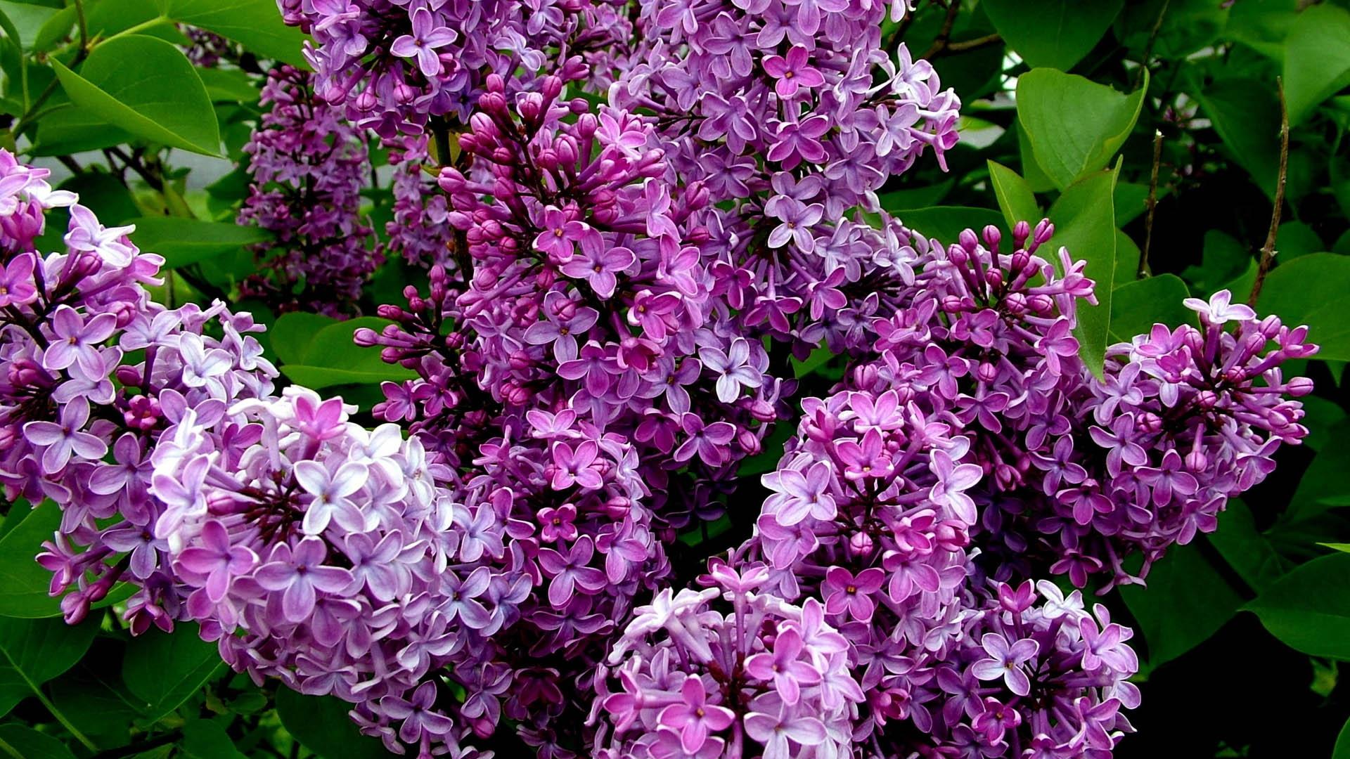 hintergrundbilder blumen blumenbl tter bl hen kraut lila blume flora botanik. Black Bedroom Furniture Sets. Home Design Ideas
