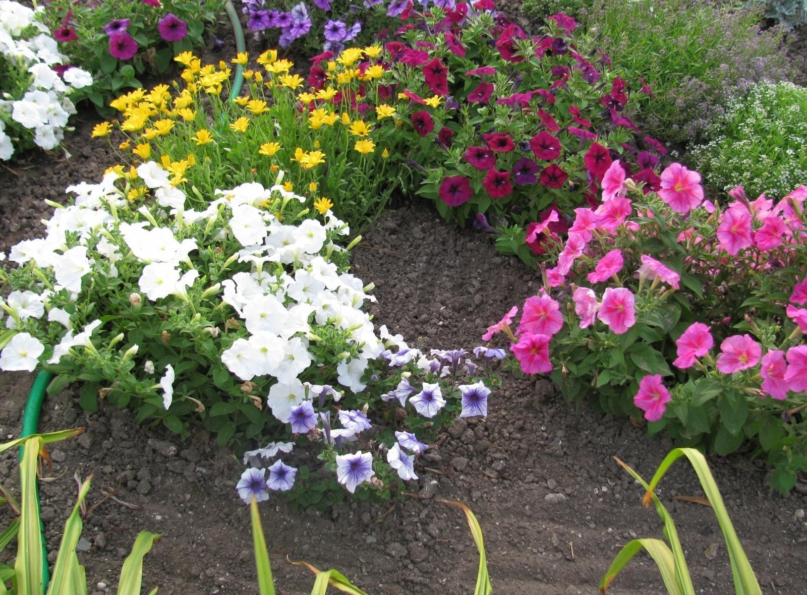 Image De Parterre De Fleurs fond d'écran : pétunia, différent, parterre de fleurs