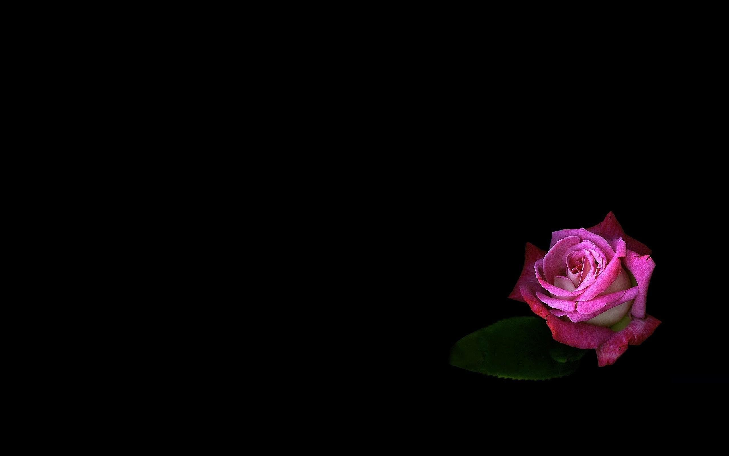 Sfondi Fiori Rose Rosa Fiore Oscurità Petalo 2560x1600 Px