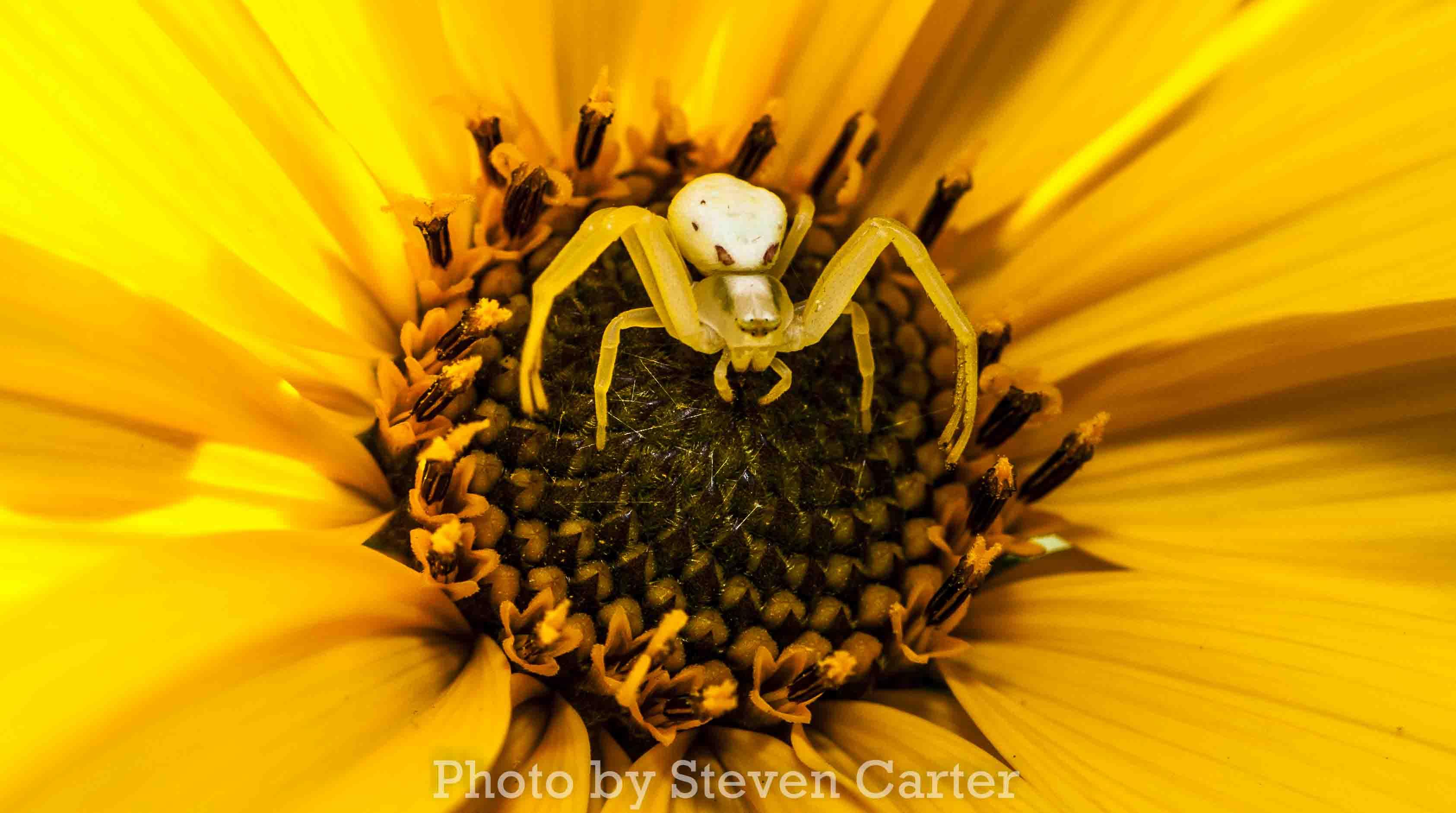 Wallpaper Flowers Yellow Pollen Spider Flower Flora Petal