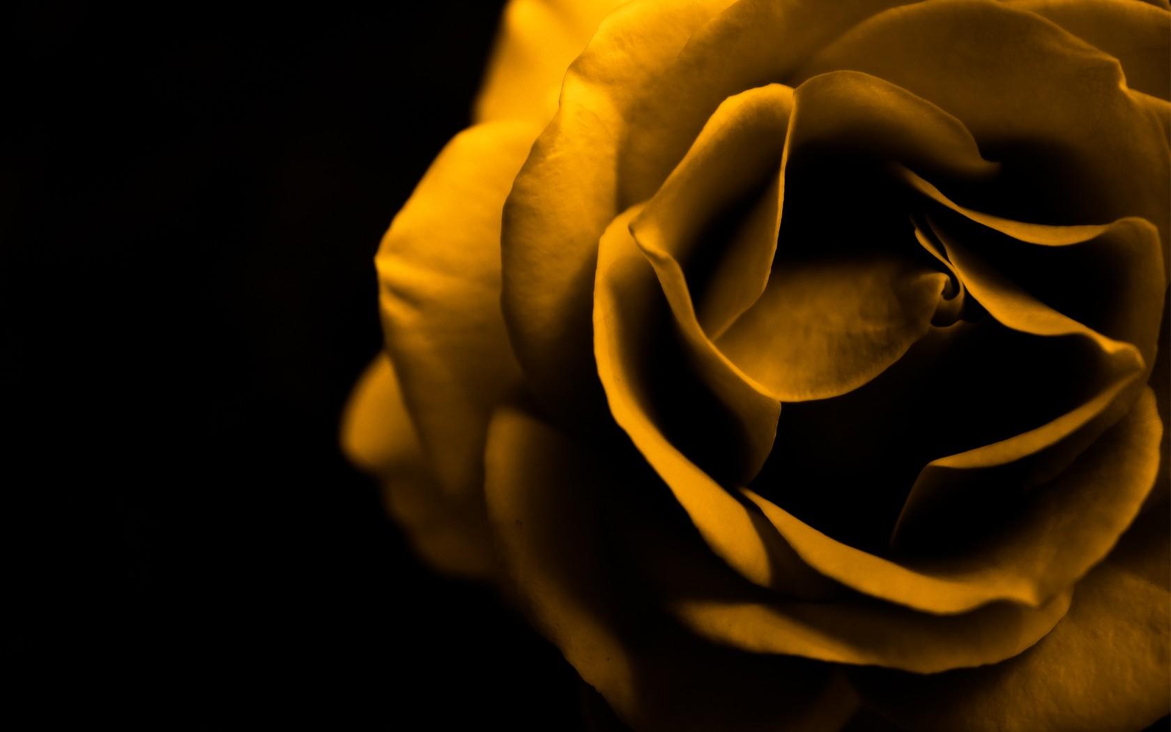 Обои на телефон коричневые розы