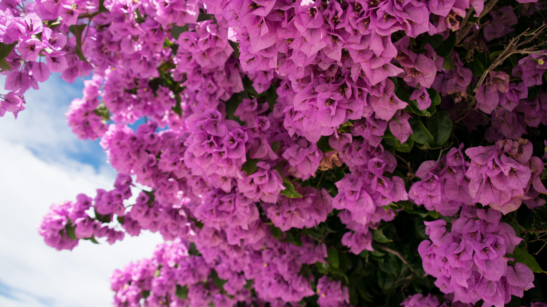 fond d'écran : fleurs, rose, la nature, bougainvilliers 6000x3375