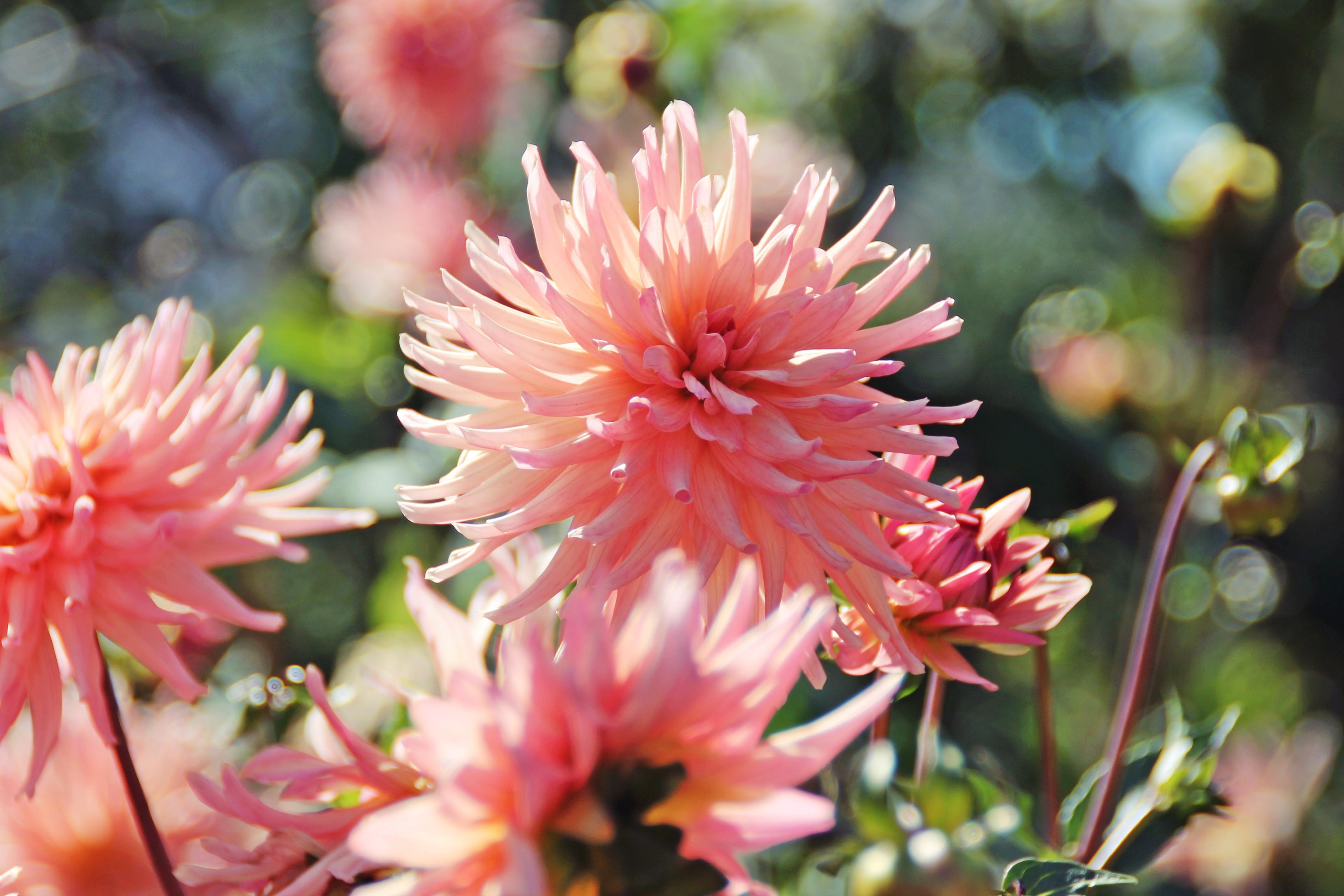 Sfondi fiori piante fiorire rosa dalie fiore dalia - Dalia pianta ...