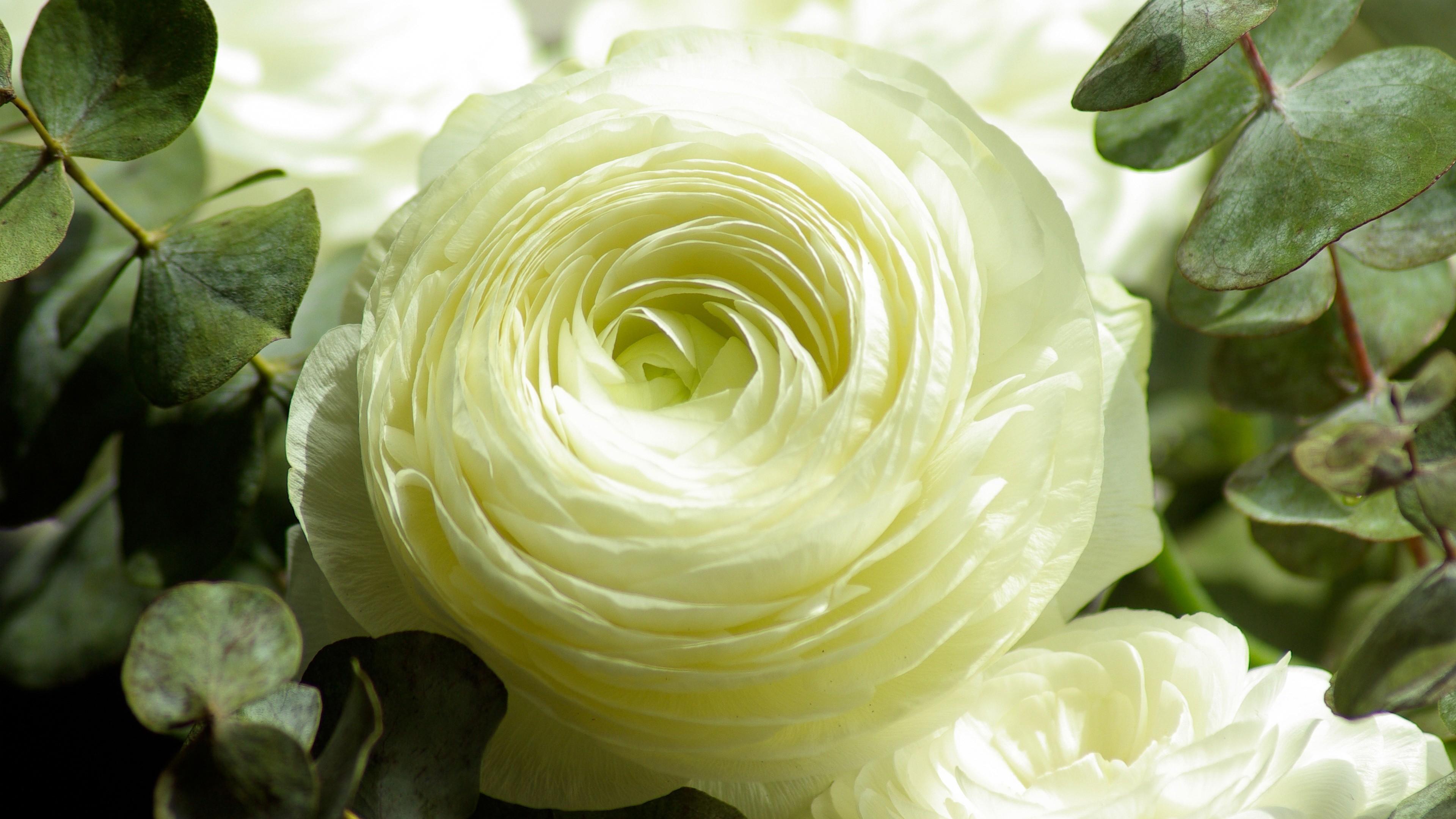 махов белые цветы на зеленом фоне фото высокого разрешения нас можете приобрести