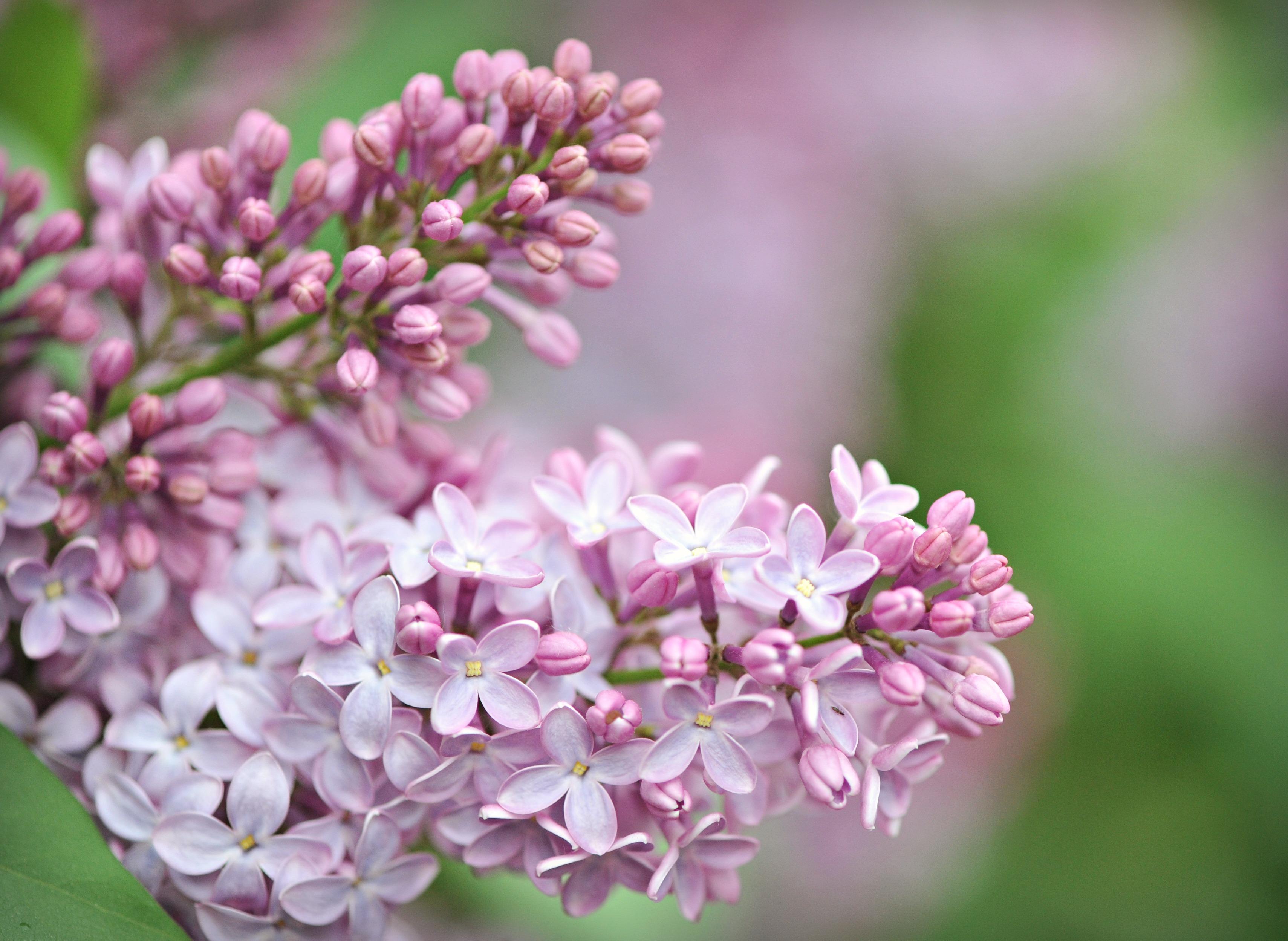 Wallpaper Bunga Bunga Cantik Ungu Harum Lilac Selamat Hari