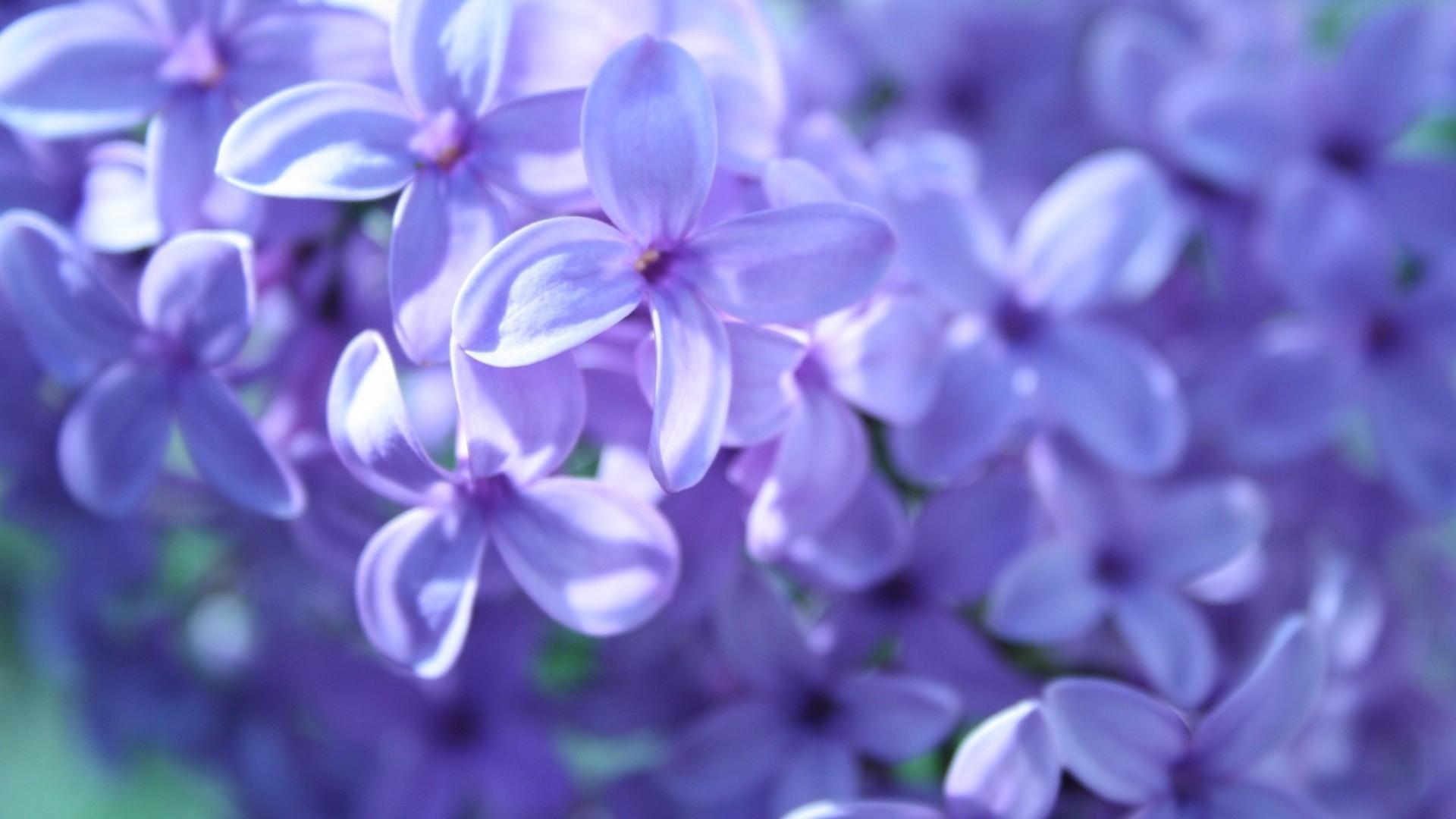 Sfondi Fiori Viola Blu Lavanda Fiorire Lilla Fiore Giacinto