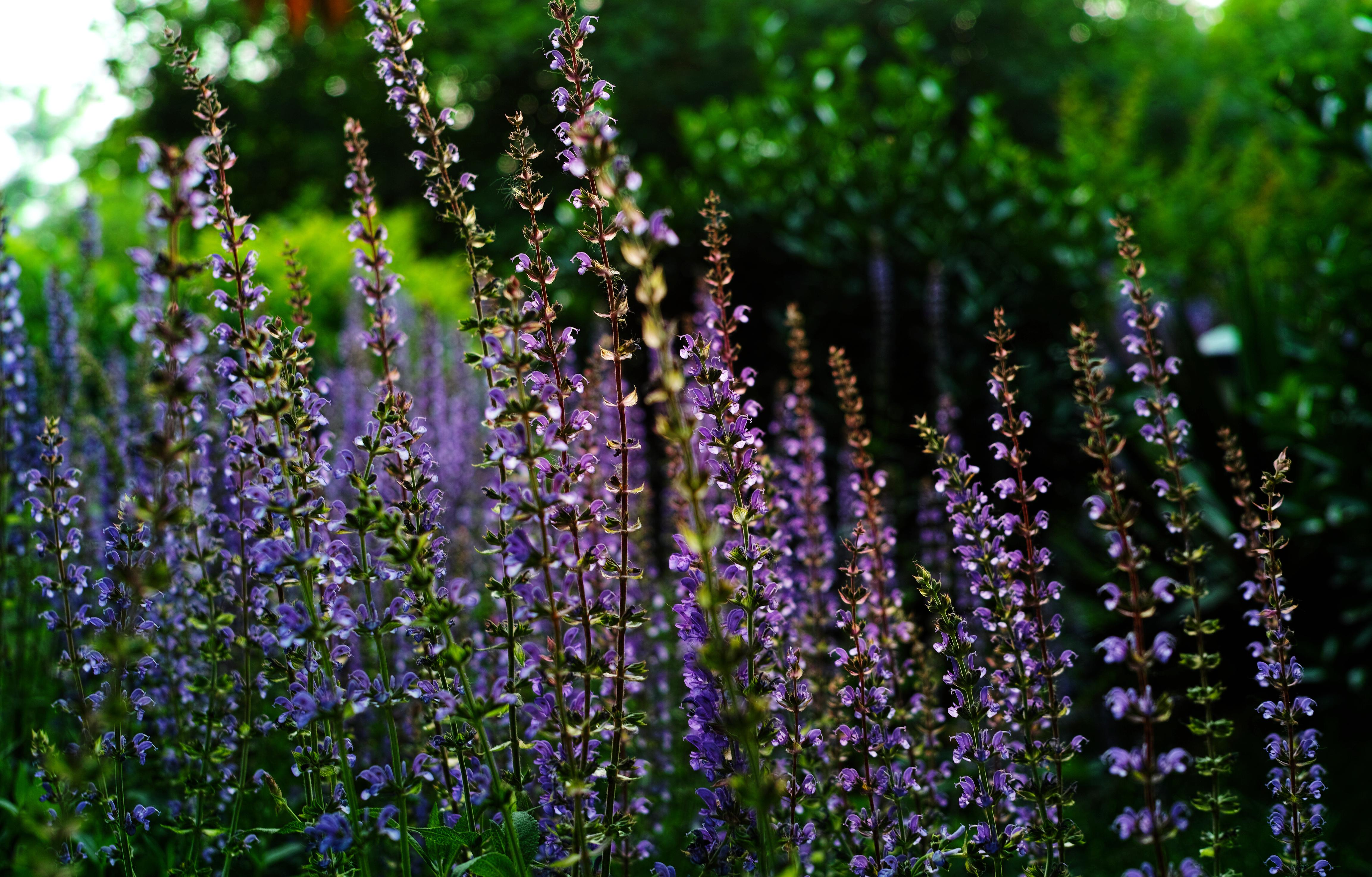 Beautiful Wallpaper Aesthetic Purple - flowers-purple-lavender-flower-plant-aesthetic-flora-wildflower-botany-land-plant-flowering-plant-shrub-lupin-english-lavender-405722  2018_203141      .jpg