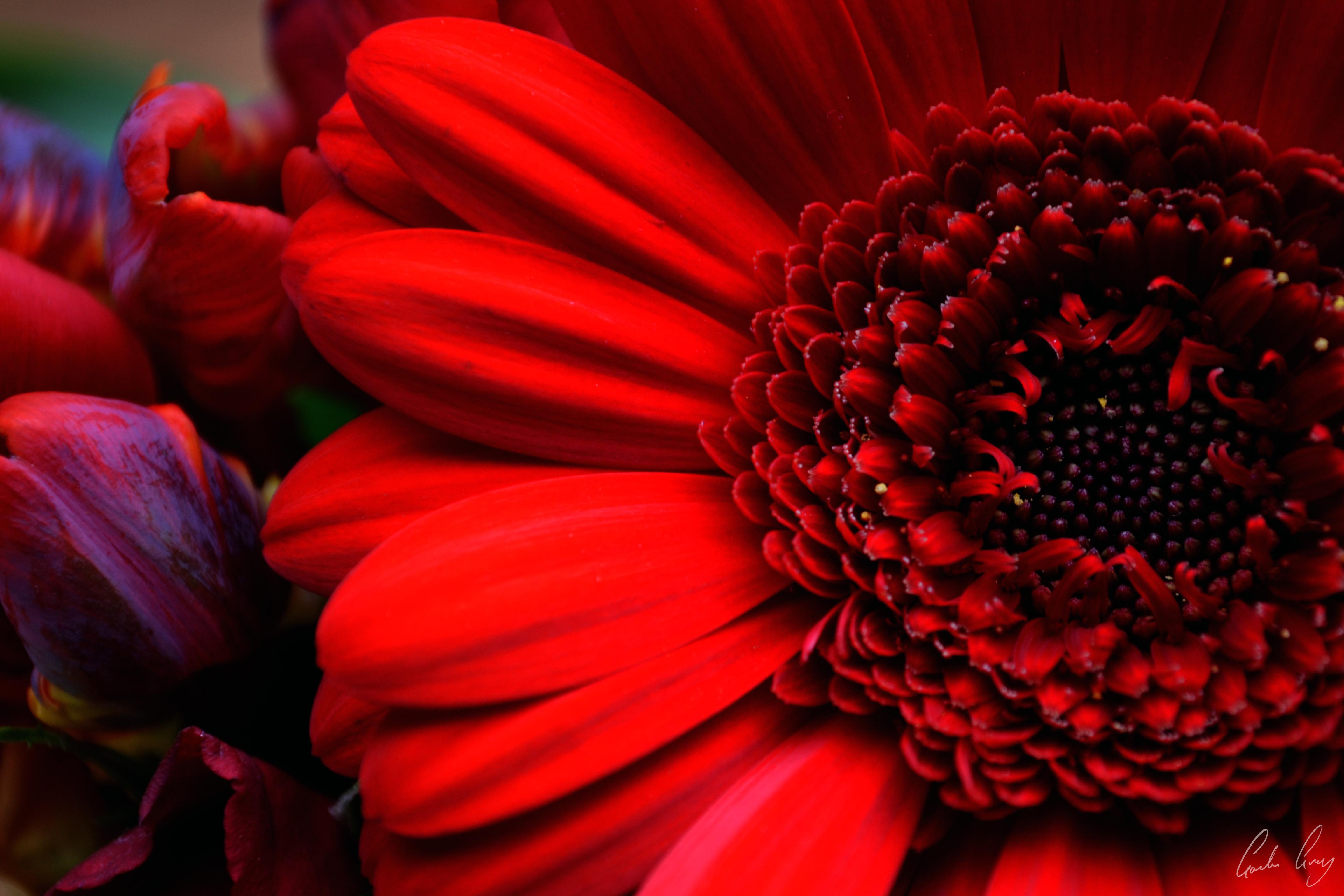 Wallpaper flowers red color colour texture love nature flowers red color colour texture love nature beauty closeup vibrant colorfull compassion romance passion complexity colourful izmirmasajfo