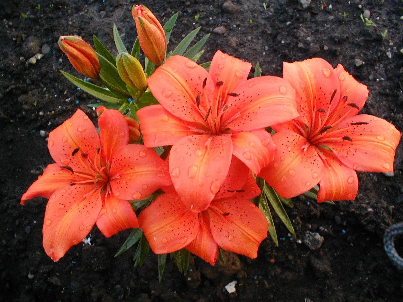 fond d 39 cran rouge fleurs de lys l 39 automne feuille fleur laissez tomber lis flore. Black Bedroom Furniture Sets. Home Design Ideas