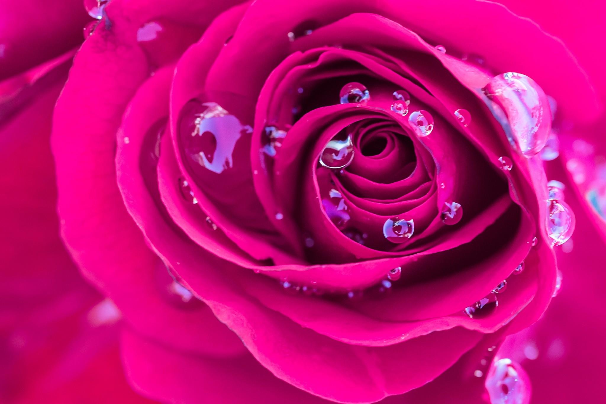 デスクトップ壁紙 フラワーズ 赤 紫の 水滴 ピンク 露 工場
