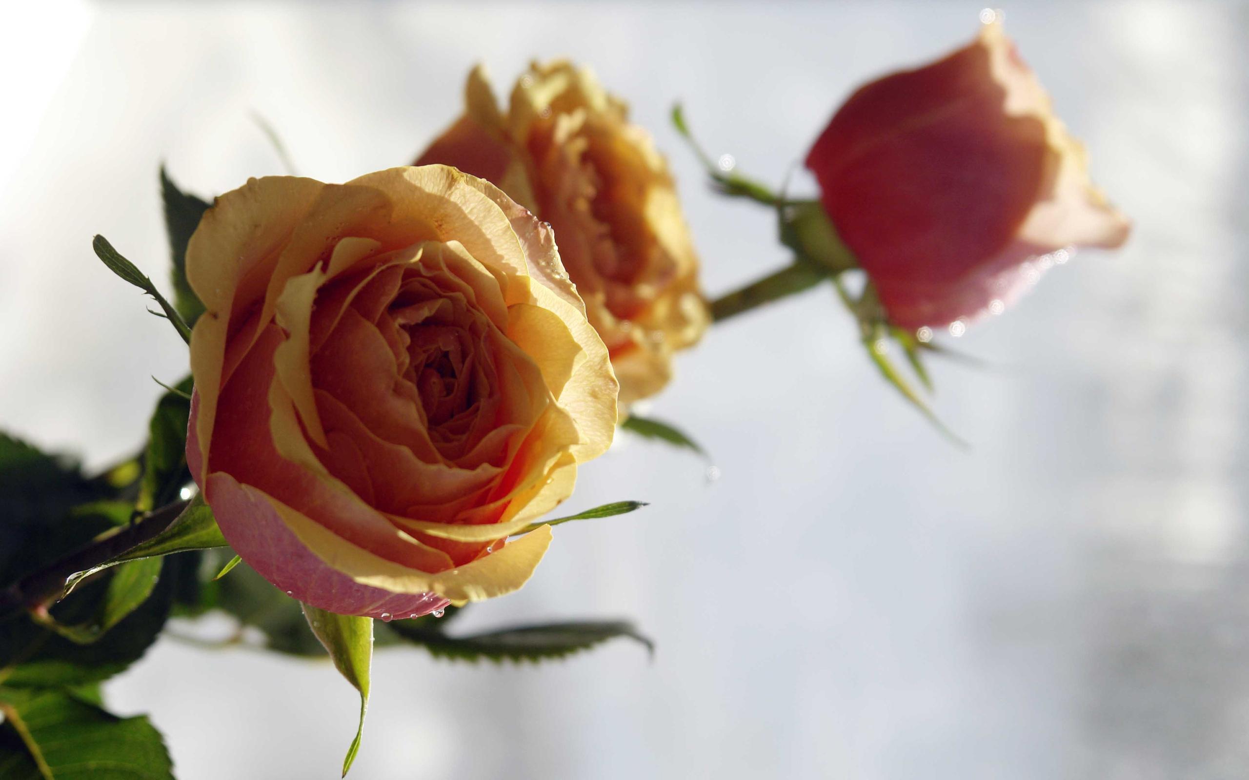 Розы на фото лучшие картинки красивых цветов роз