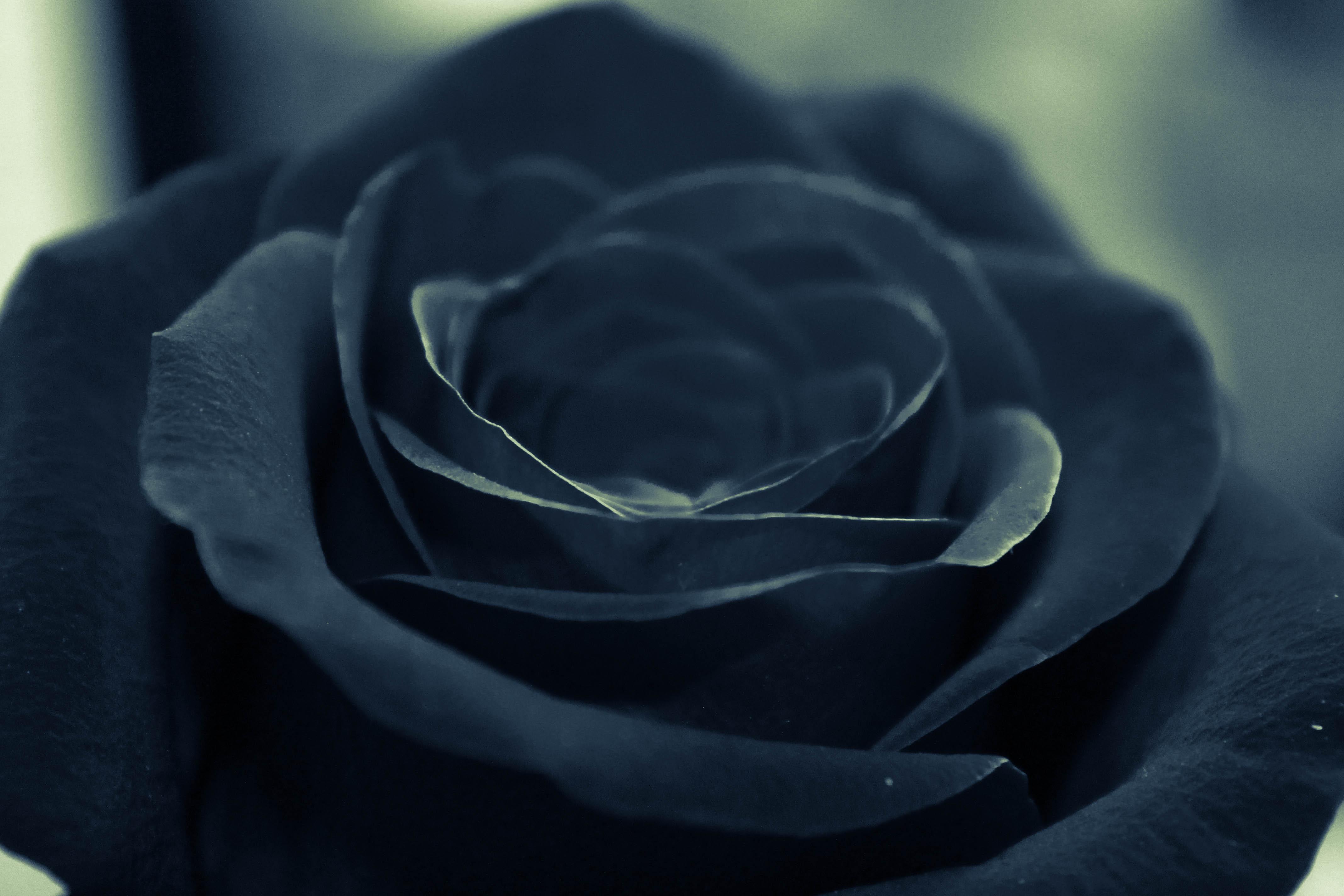 Цветы черная роза картинки