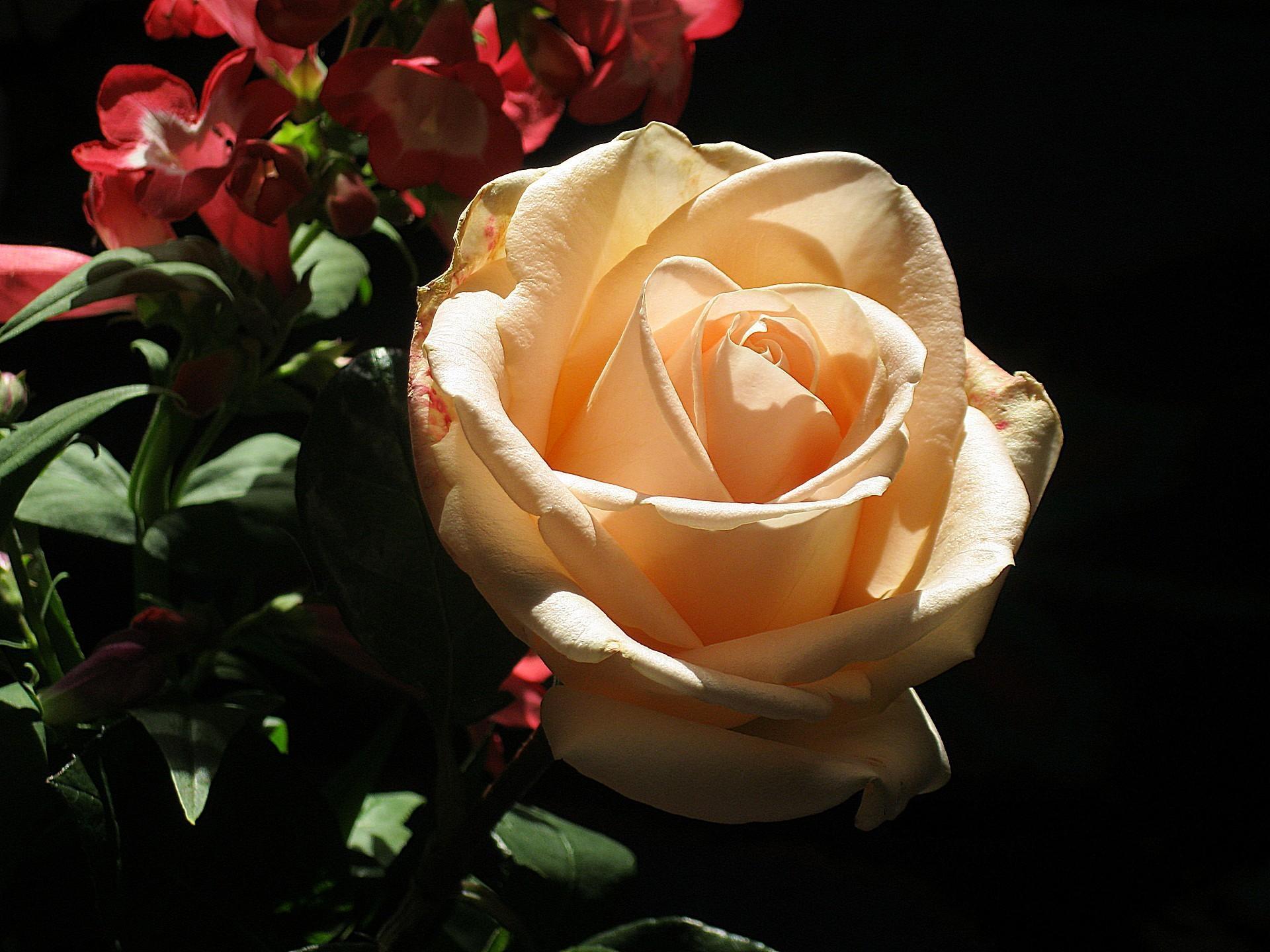 Открытки, свете розы картинки