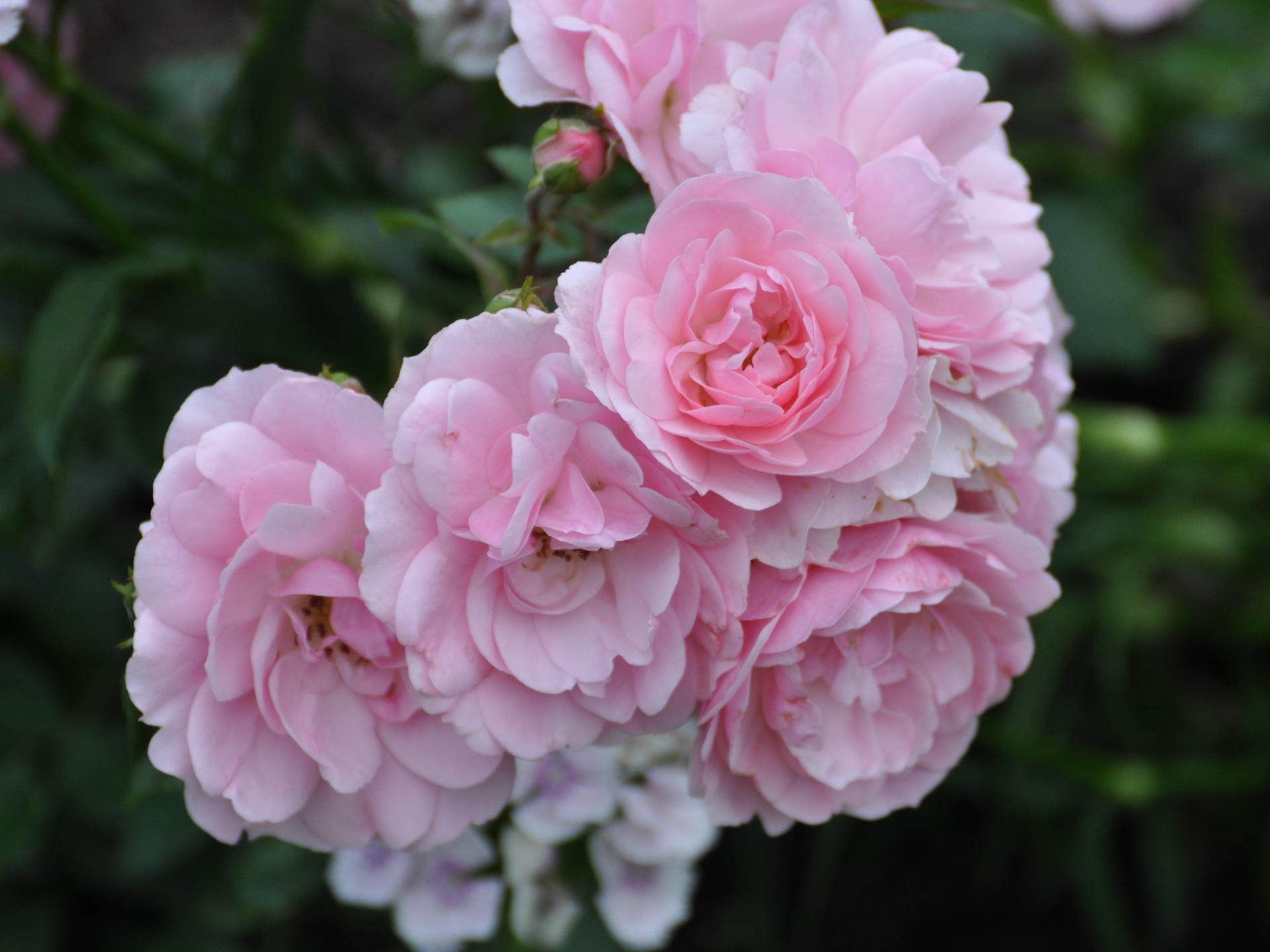 Sfondi fiori fiorire cespugli fiore rose petalo for Rose da giardino