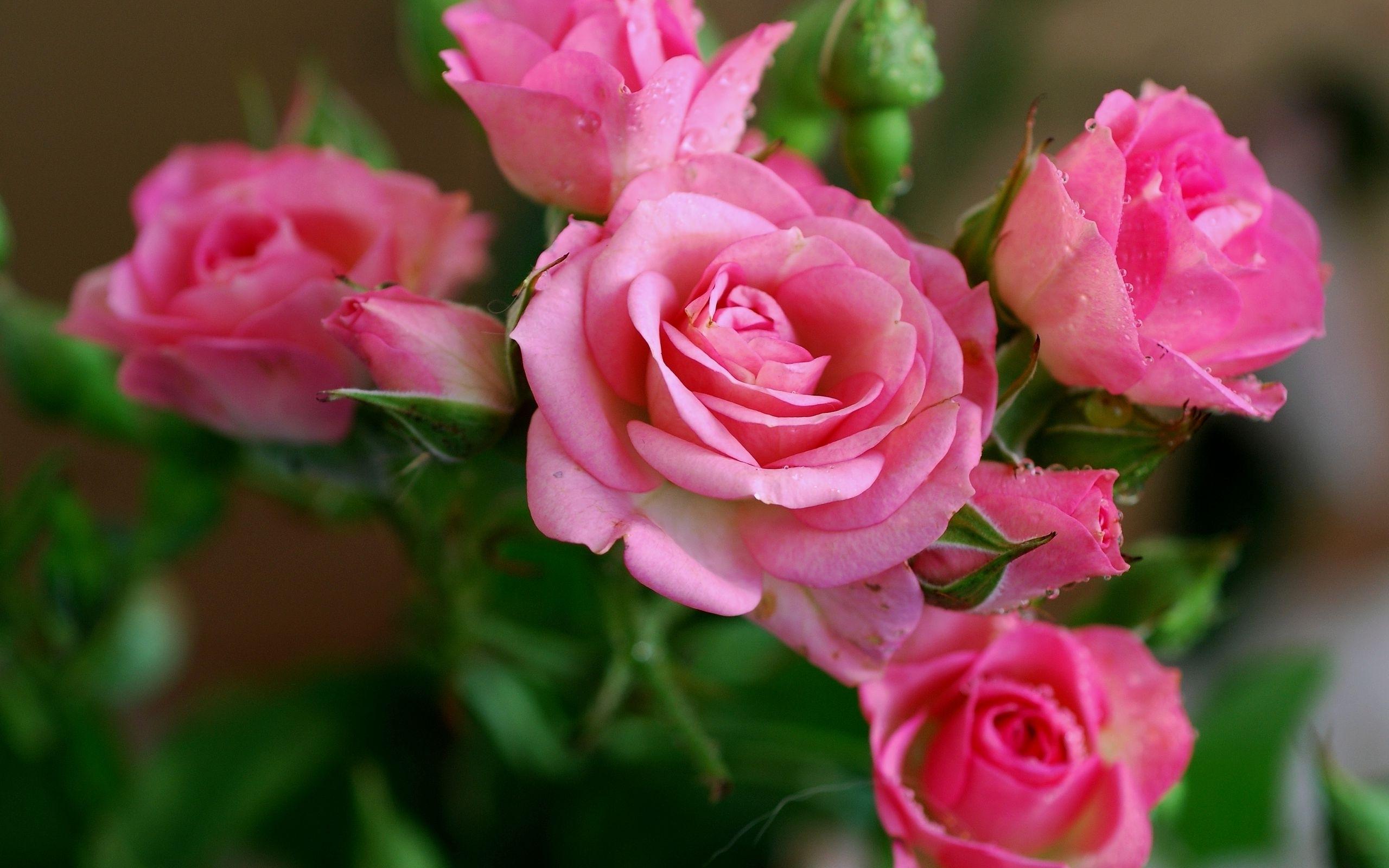обои для рабочего стола розы красивые во весь экран № 233092 загрузить