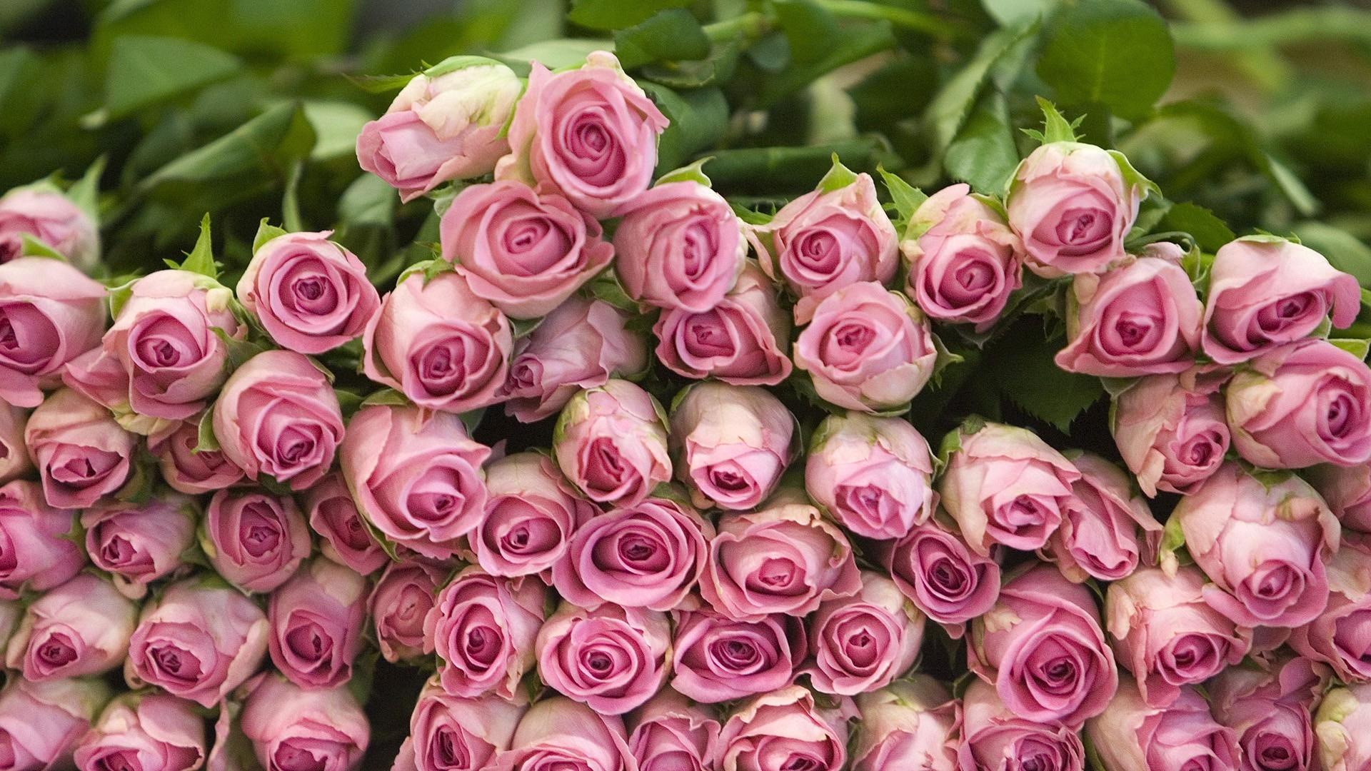 Fiori Da Giardino In Montagna sfondi : bugie, montagna, fiore, flora, rose, petalo