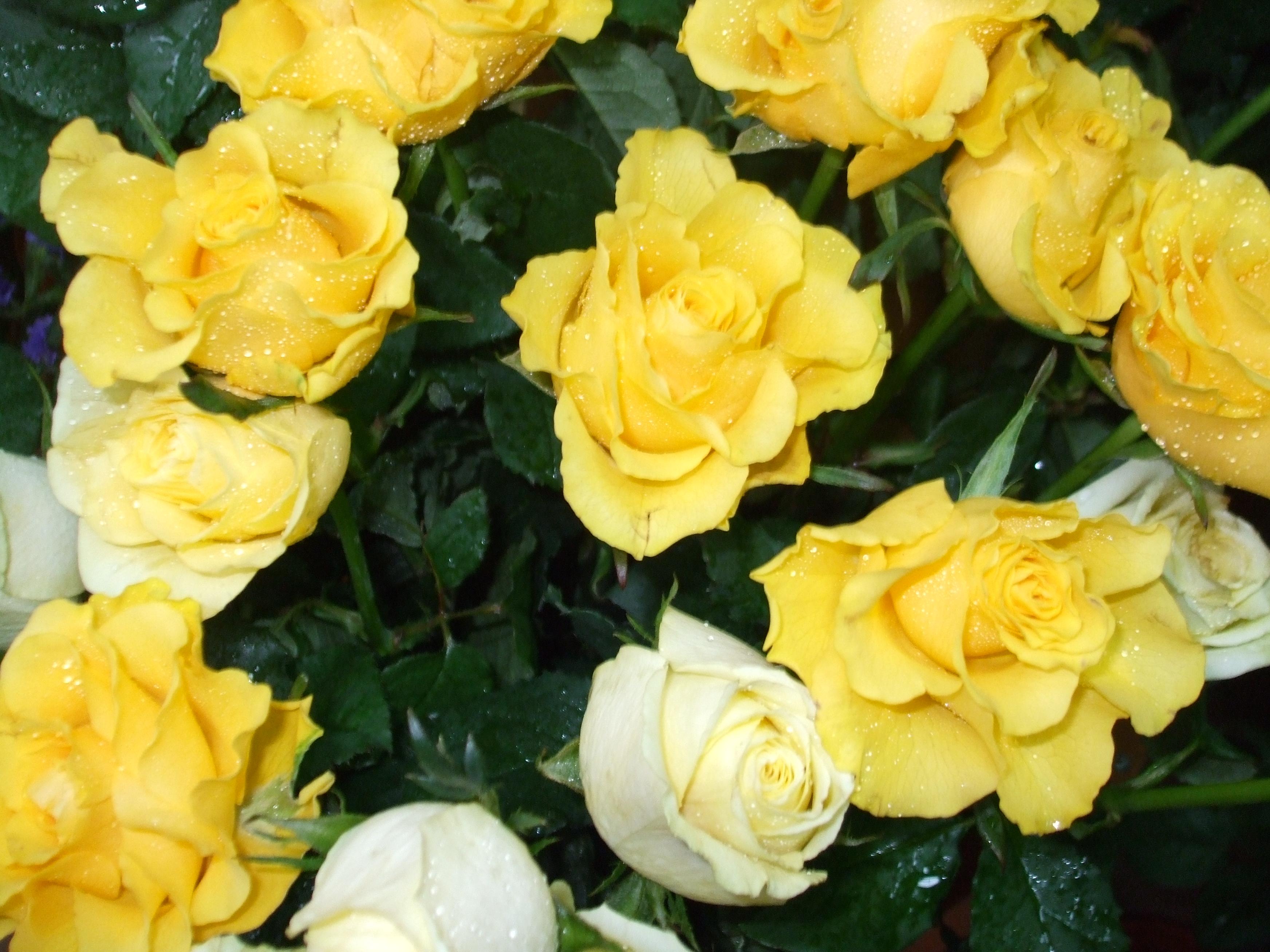 Download 8000 Wallpaper Bunga Rose Putih HD Terbaik