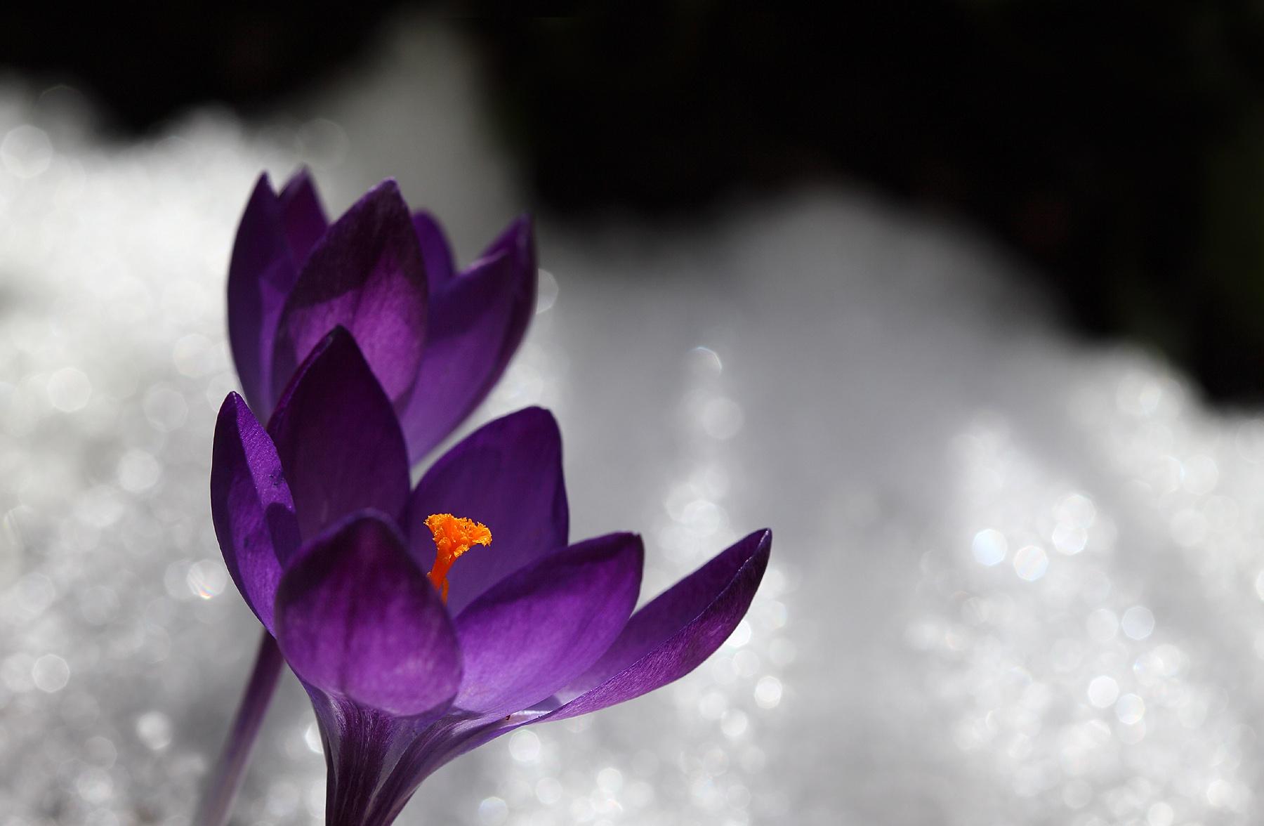 Berühmt Hintergrundbilder : Blumen, Schnee, Pflanzen, Makro, Blumen #FQ_25