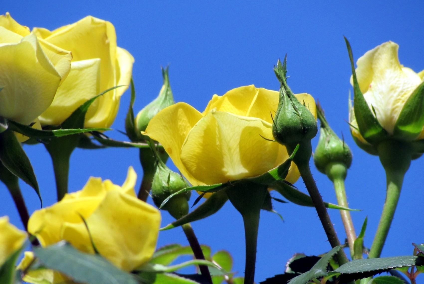 Wallpaper Flowers Sky Yellow Blue Flower Flora Bud Petal
