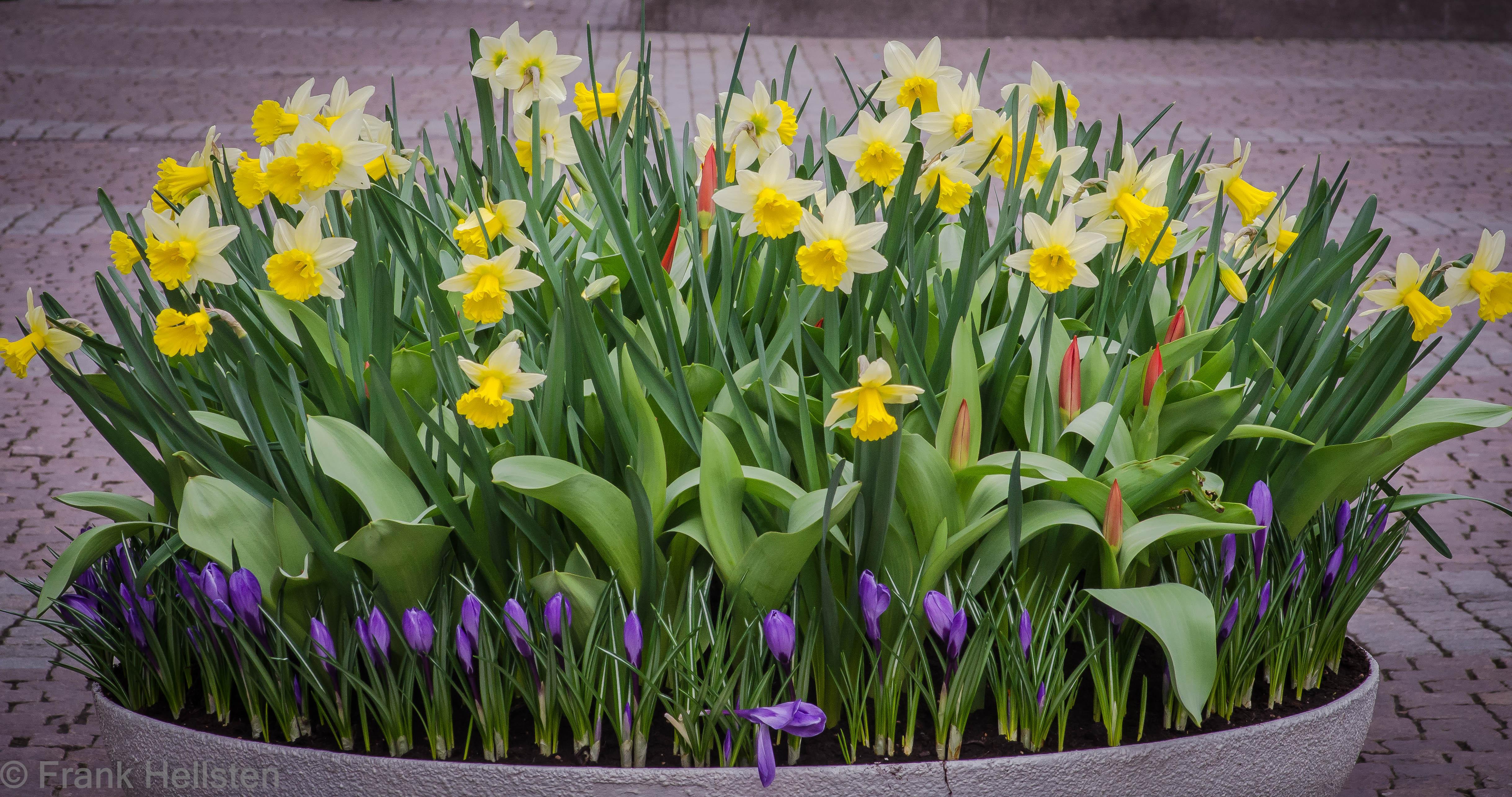 много клумбы с тюльпанами и нарциссами фото оттенок прекрасно