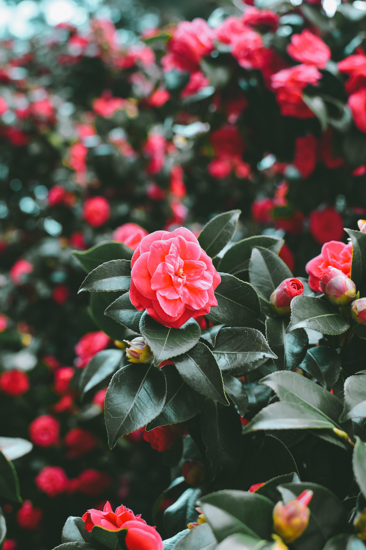 Wallpaper : flowers, spring, pink, bush, blur 4000x6000