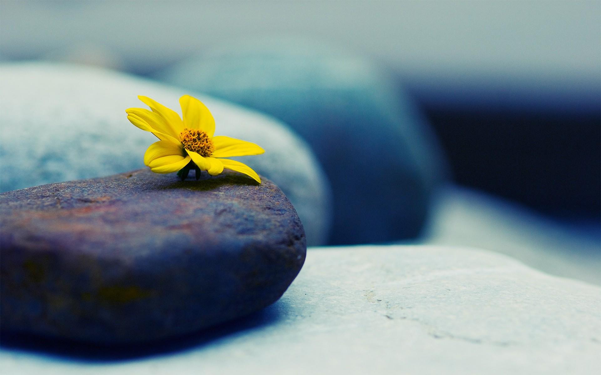 Wallpaper steine blumen  Hintergrundbilder : Steine, gelbe Blumen, Fotografie, Makro, Grün ...