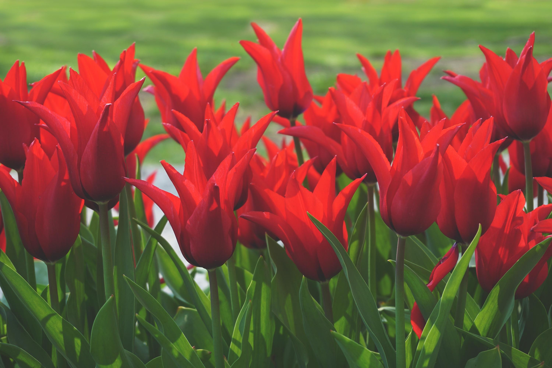 Картинки красных тюльпанов