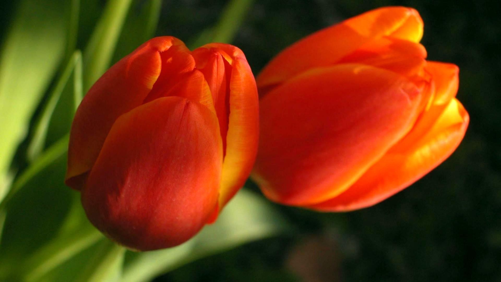 Fond D Ecran Tulipes Fleur Deux Tulipe Petale Bourgeons Plante Terrestre Plante A Fleurs Photographie Macro Tige De Plante Famille Lily Herbes 1920x1080 Coolwallpapers 726017 Fond D Ecran Wallhere