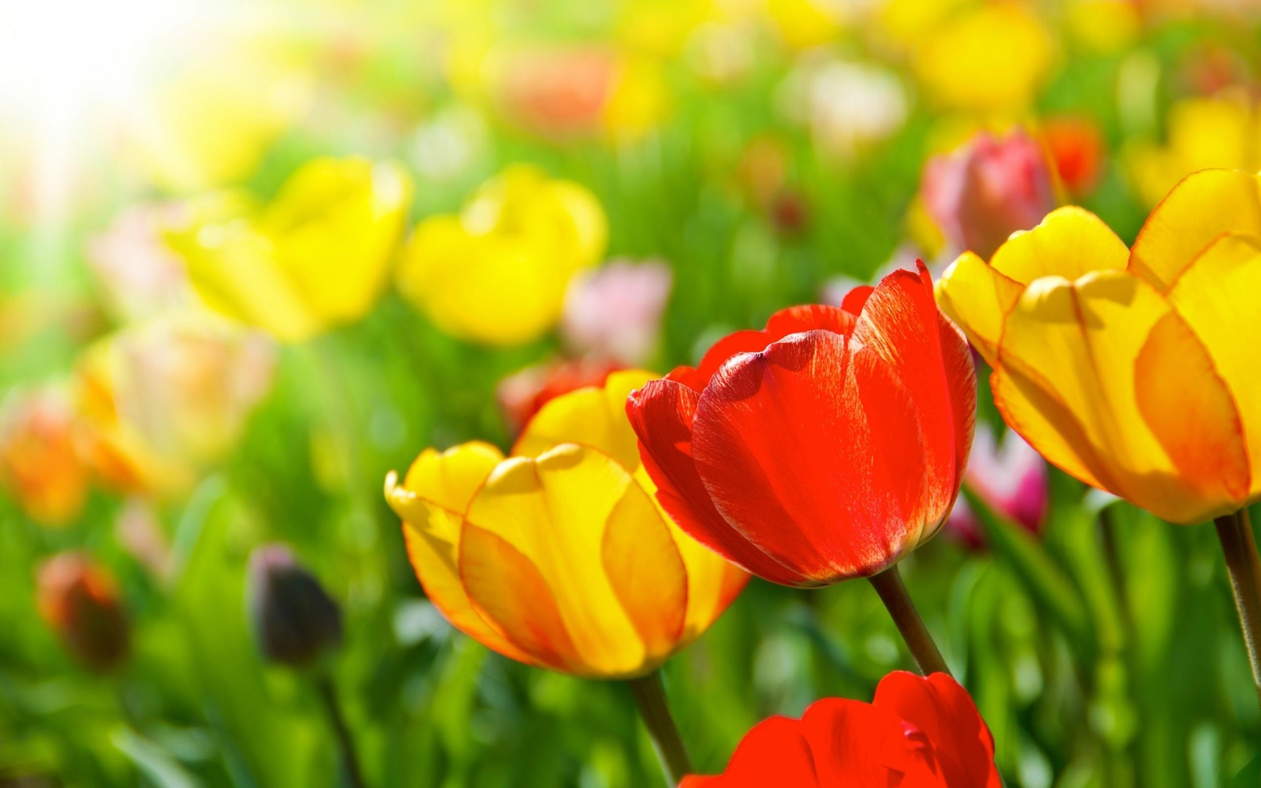 Wallpaper Flowers Tulips Yellow Sun Spring Rays Flower