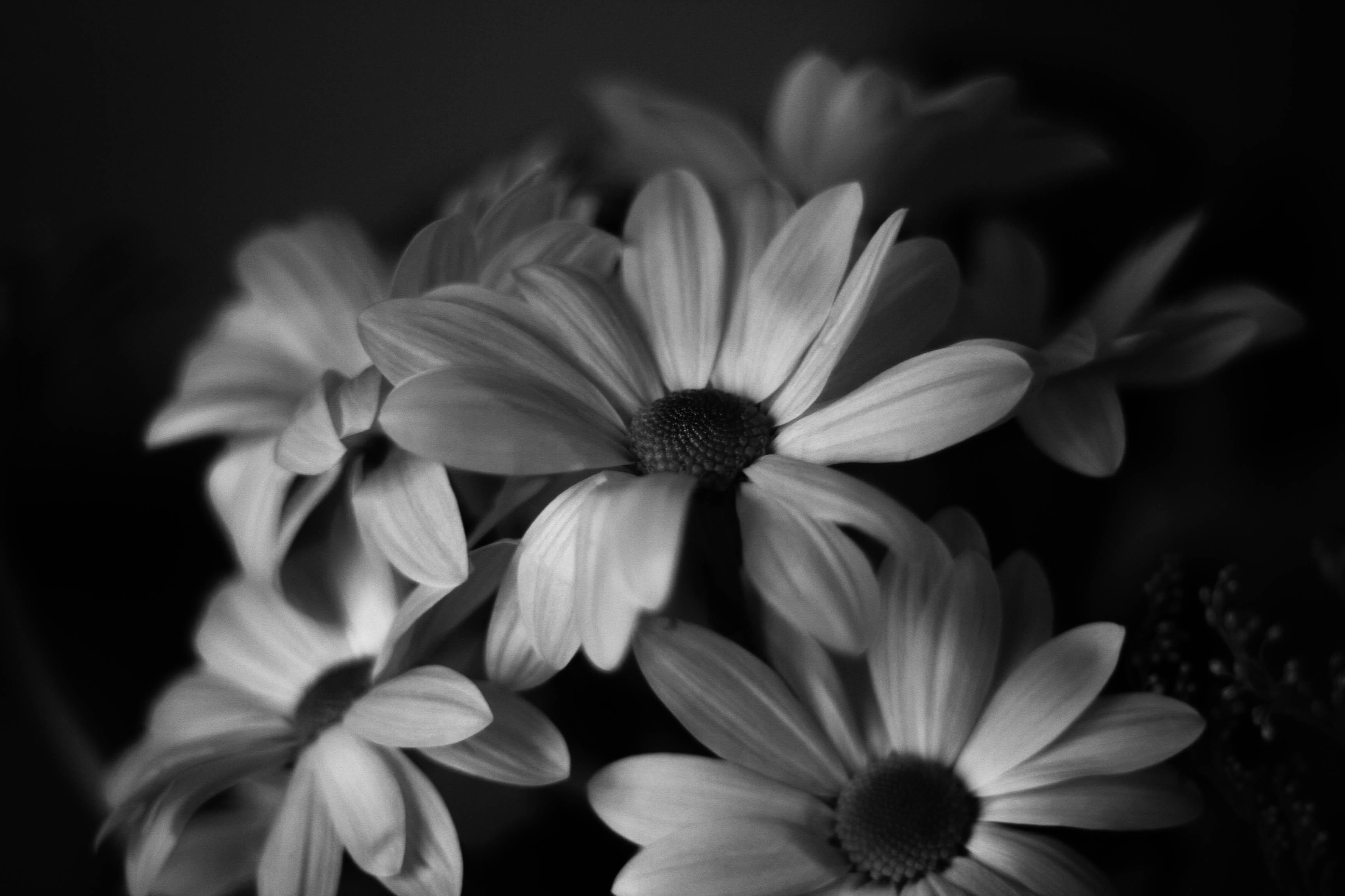Wallpaper : flowers, white, black, film, monochrome, daisies