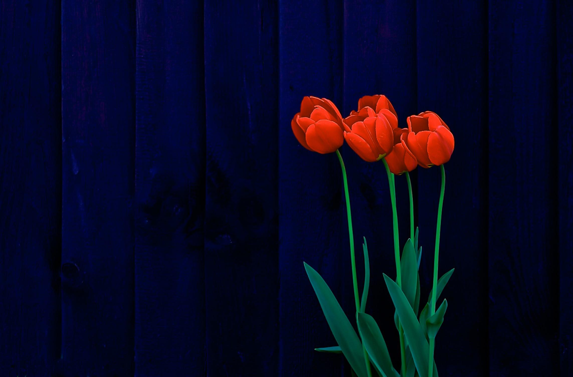 Fondos De Pantalla Rosa Rosa Flores Fondo De Madera: Fondos De Pantalla : Flores, Superficie De Madera, Rojo