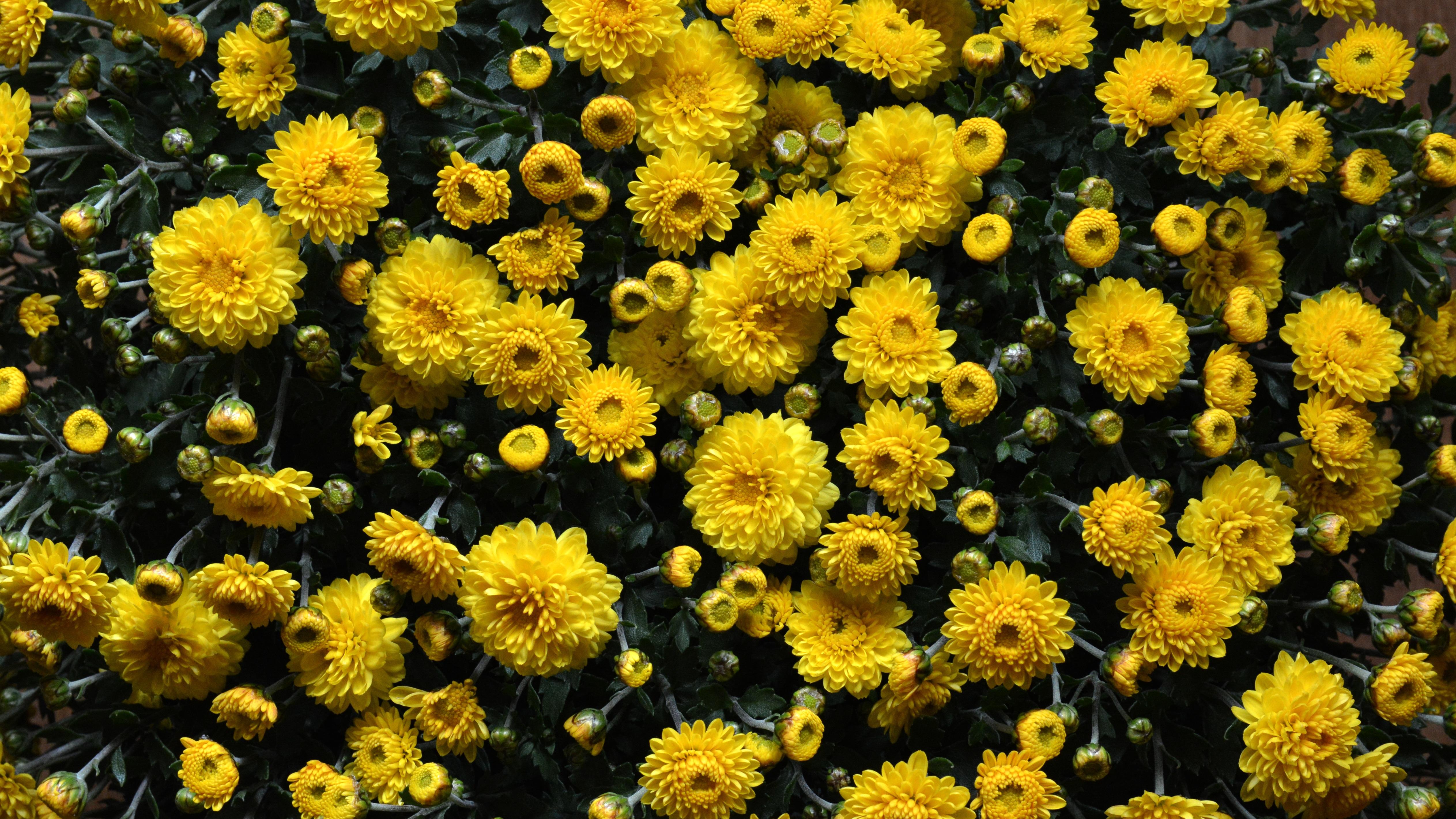 обои для рабочего стола осенние цветы хризантемы № 1155187 загрузить