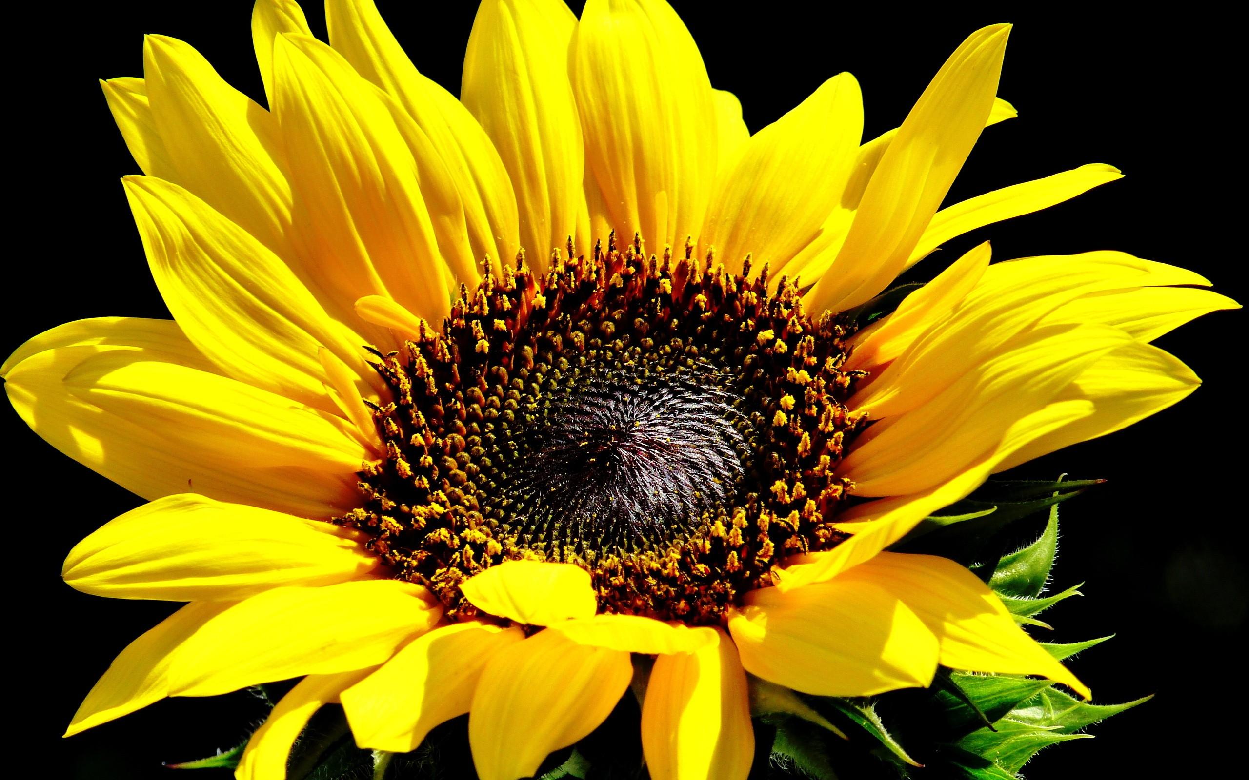 hintergrundbilder gelbe blumen pflanzen feld gelb sonnenblumen blume sonnenblume flora. Black Bedroom Furniture Sets. Home Design Ideas
