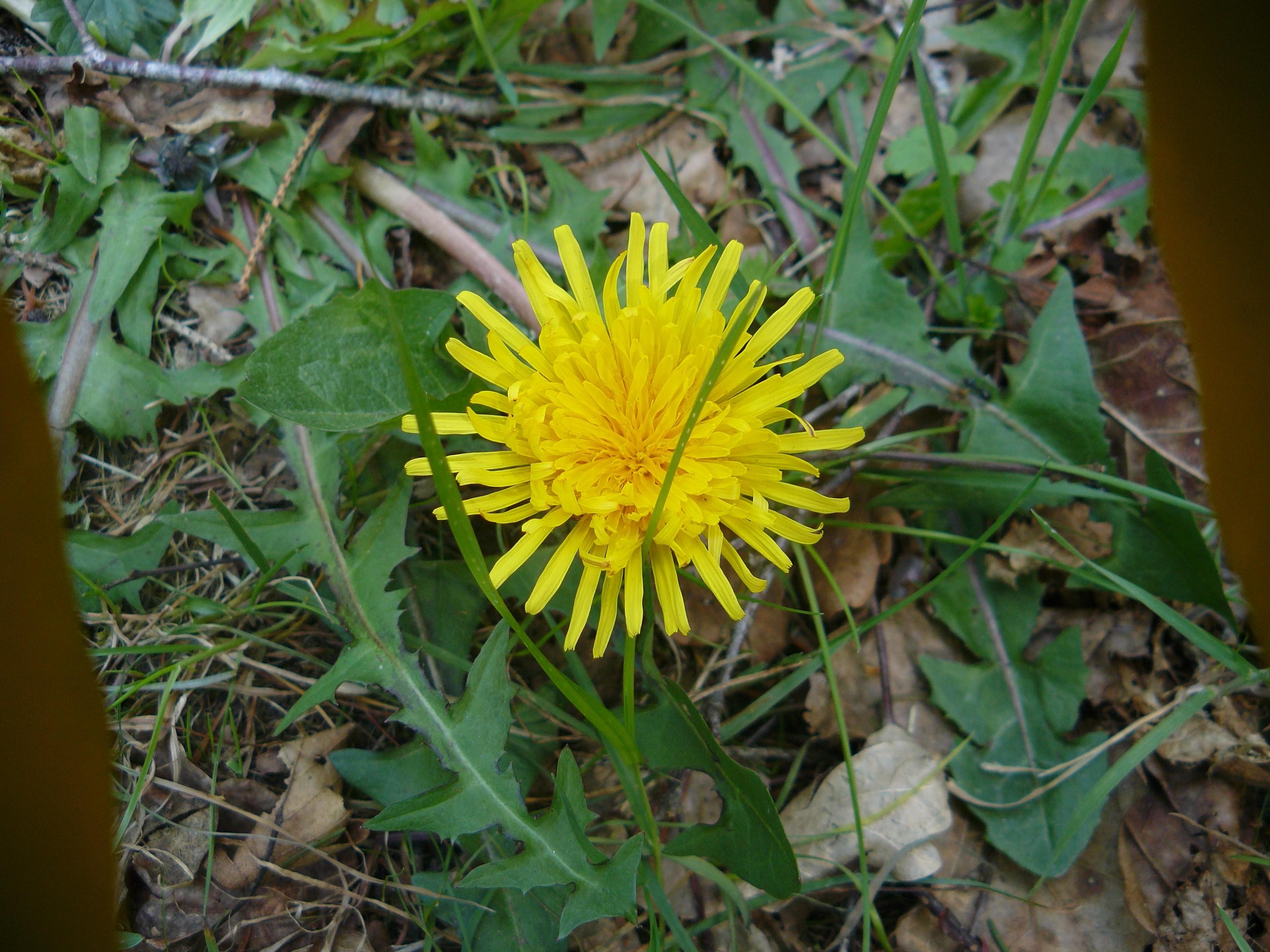Foto Fiori Gialli.Sfondi Fiori Gialli Giallo Dente Di Leone Erba Fiore Flora