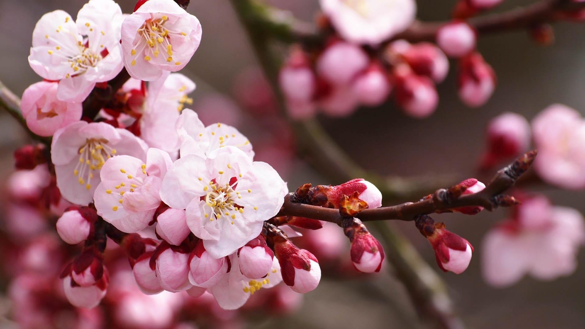 Картинки цветы вишневого цвета