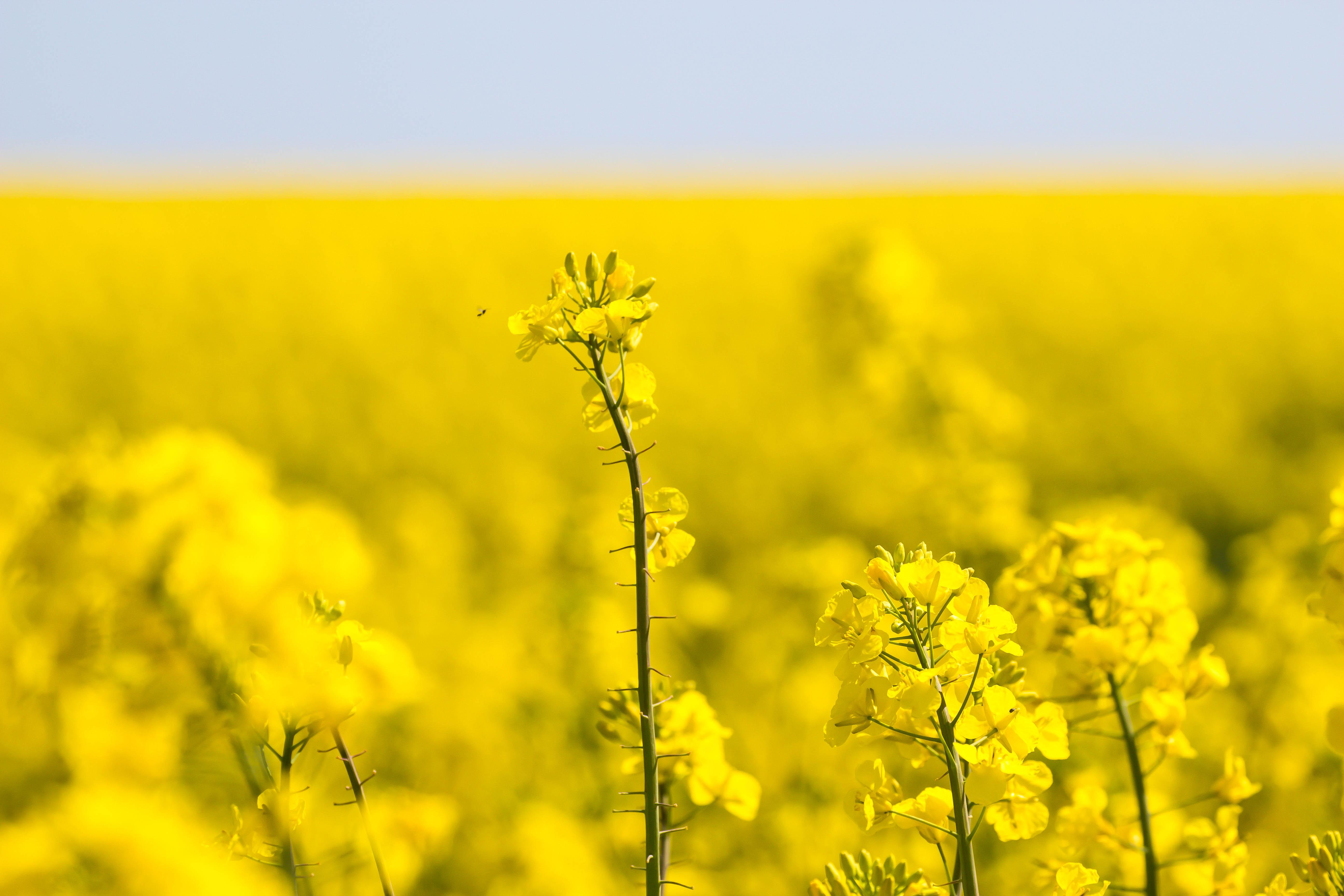 fond d 39 cran aliments champ jaune colza fleur prairie raps gul canola agriculture. Black Bedroom Furniture Sets. Home Design Ideas