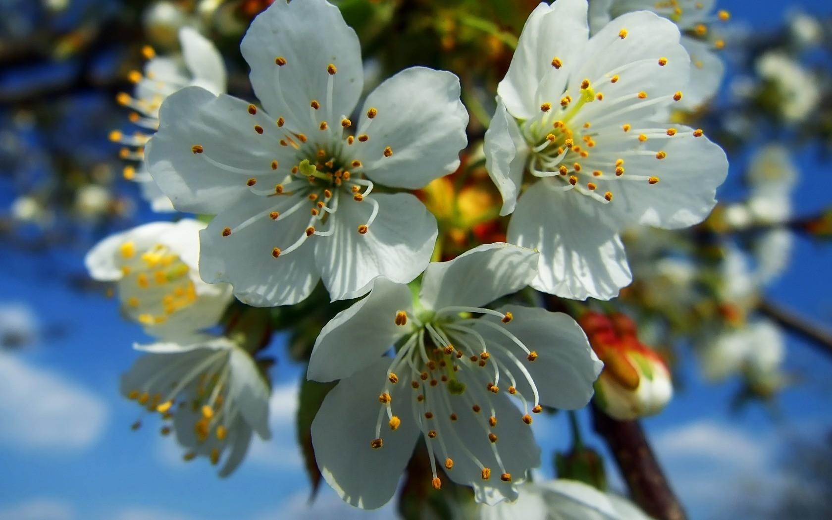 fond d 39 cran aliments la nature branche fruit fleurs blanches fleur de cerisier. Black Bedroom Furniture Sets. Home Design Ideas
